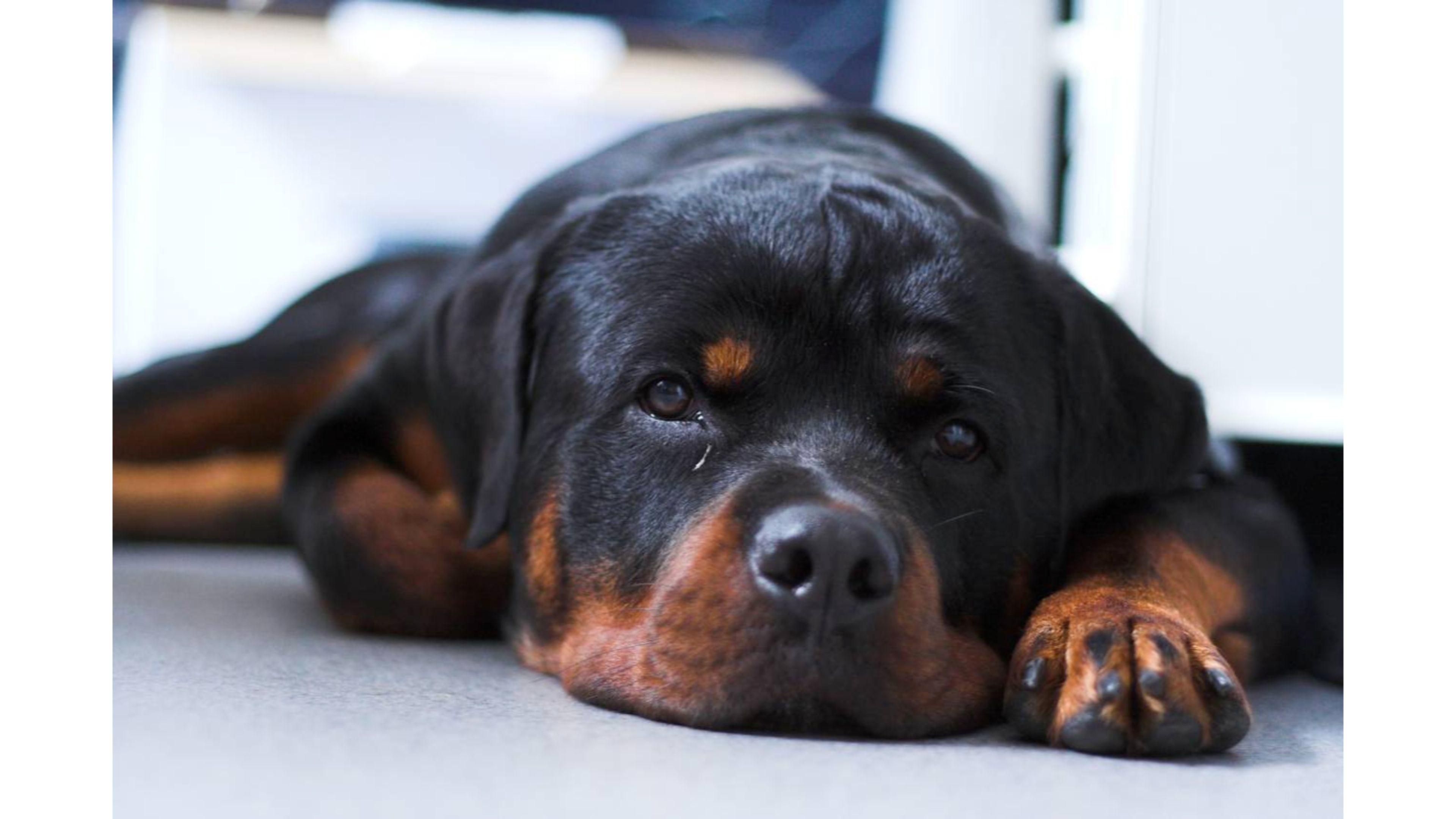 2560x1600 Rottweiler Puppies Wallpaper