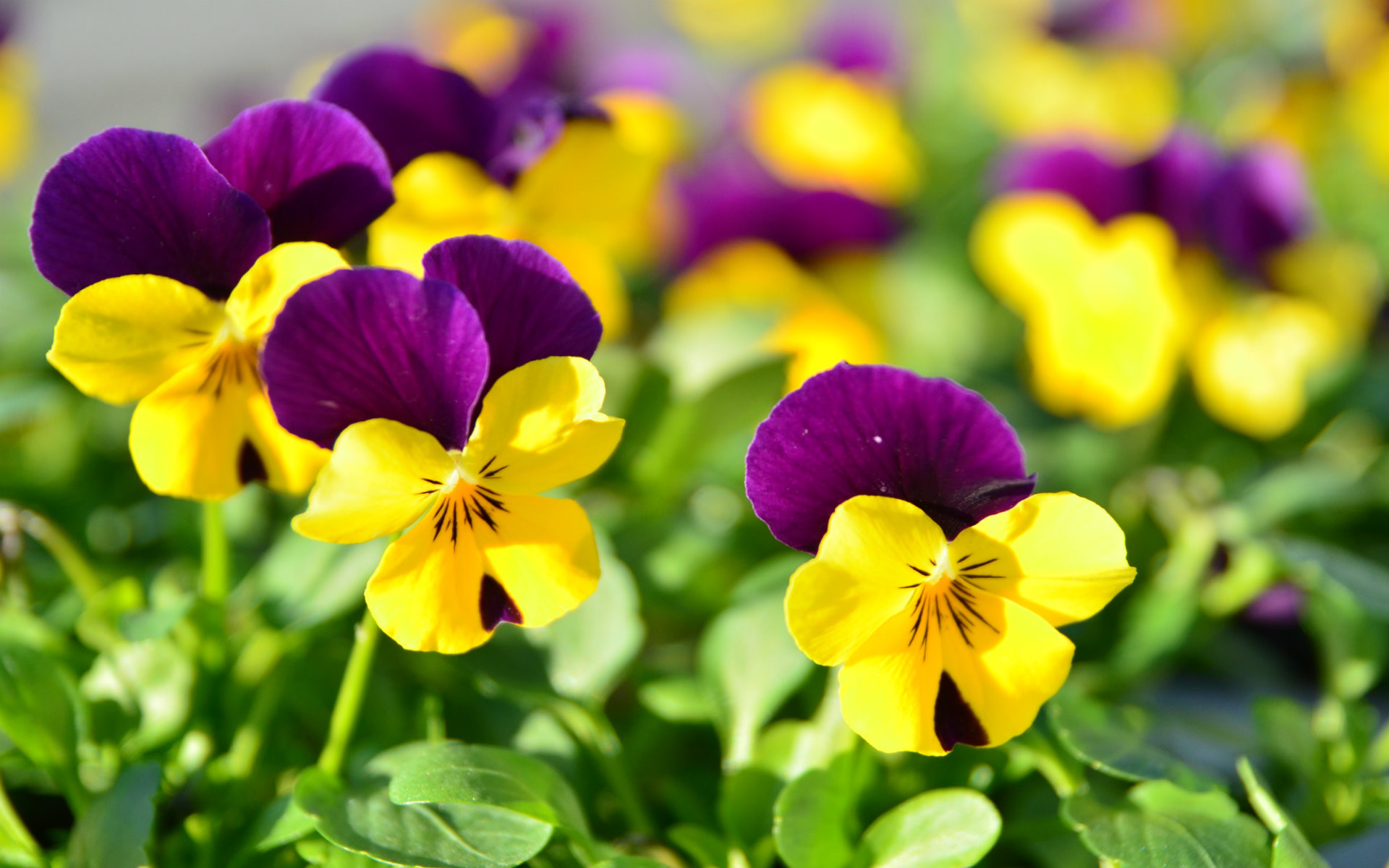 Pictures of beautiful flowers wallpapers 56 images 1920x1200 free download most beautiful flowers wallpaper izmirmasajfo