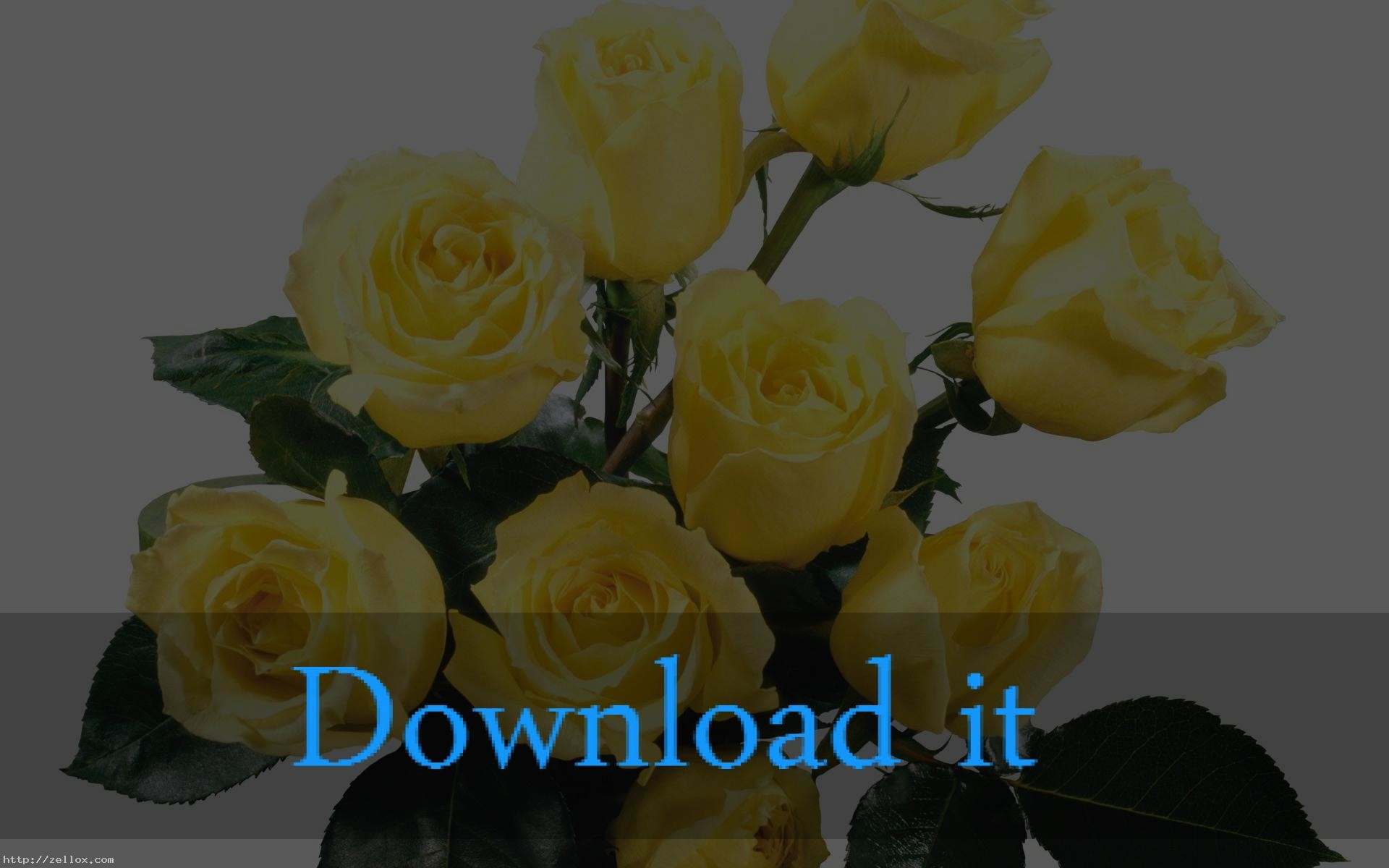 Yellow Roses Background 50 Images