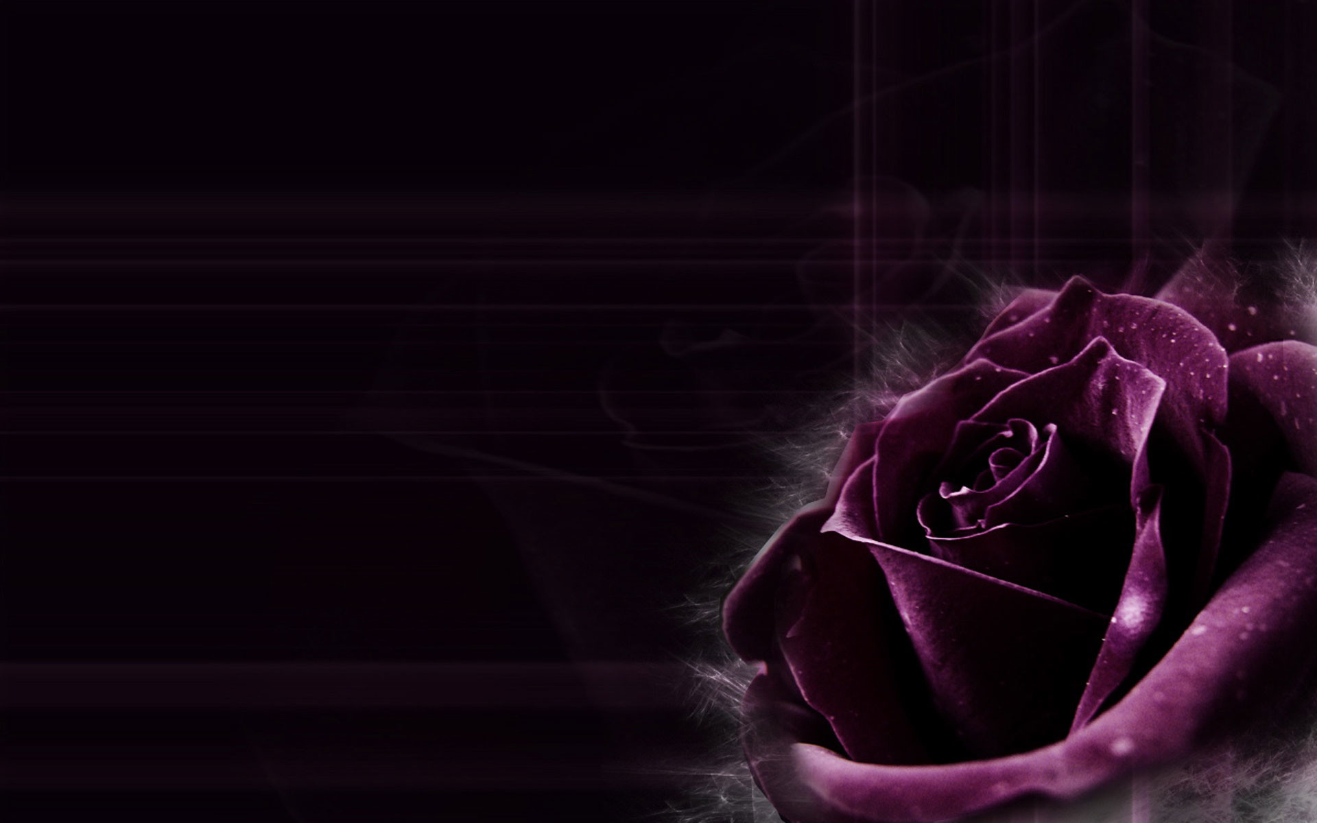 2560x1600 Purple Rose Cool Wallpapers Image HD