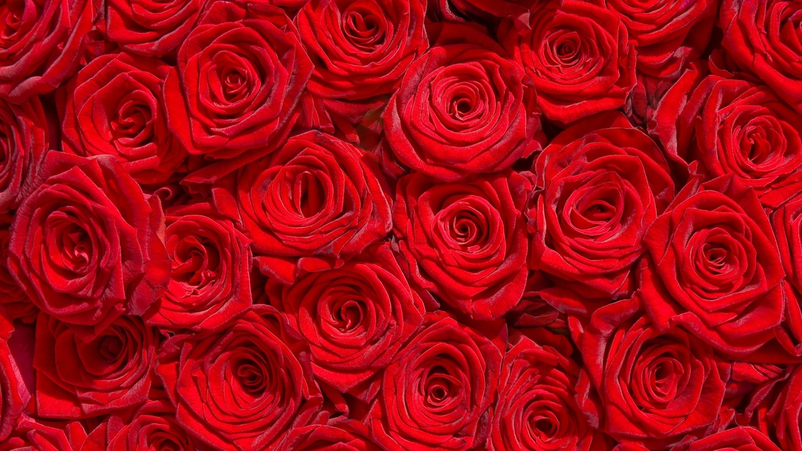 1920x1200 Rose Flower Wallpaper Desktop Background