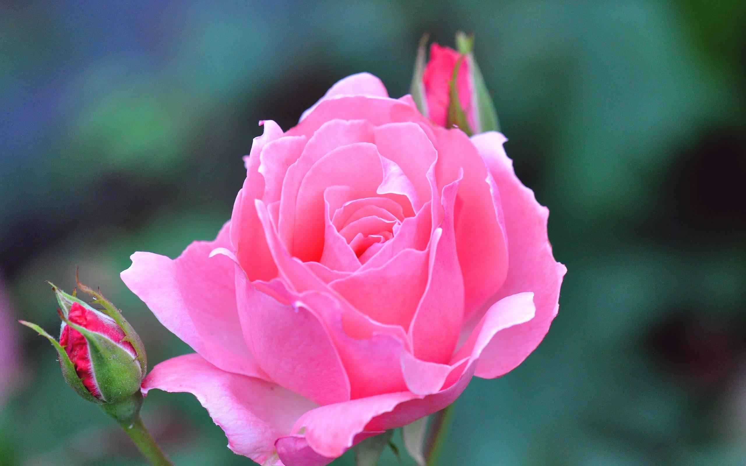 Single Rose Wallpapers: Rose Flower Wallpapers For Desktop (48+ Images