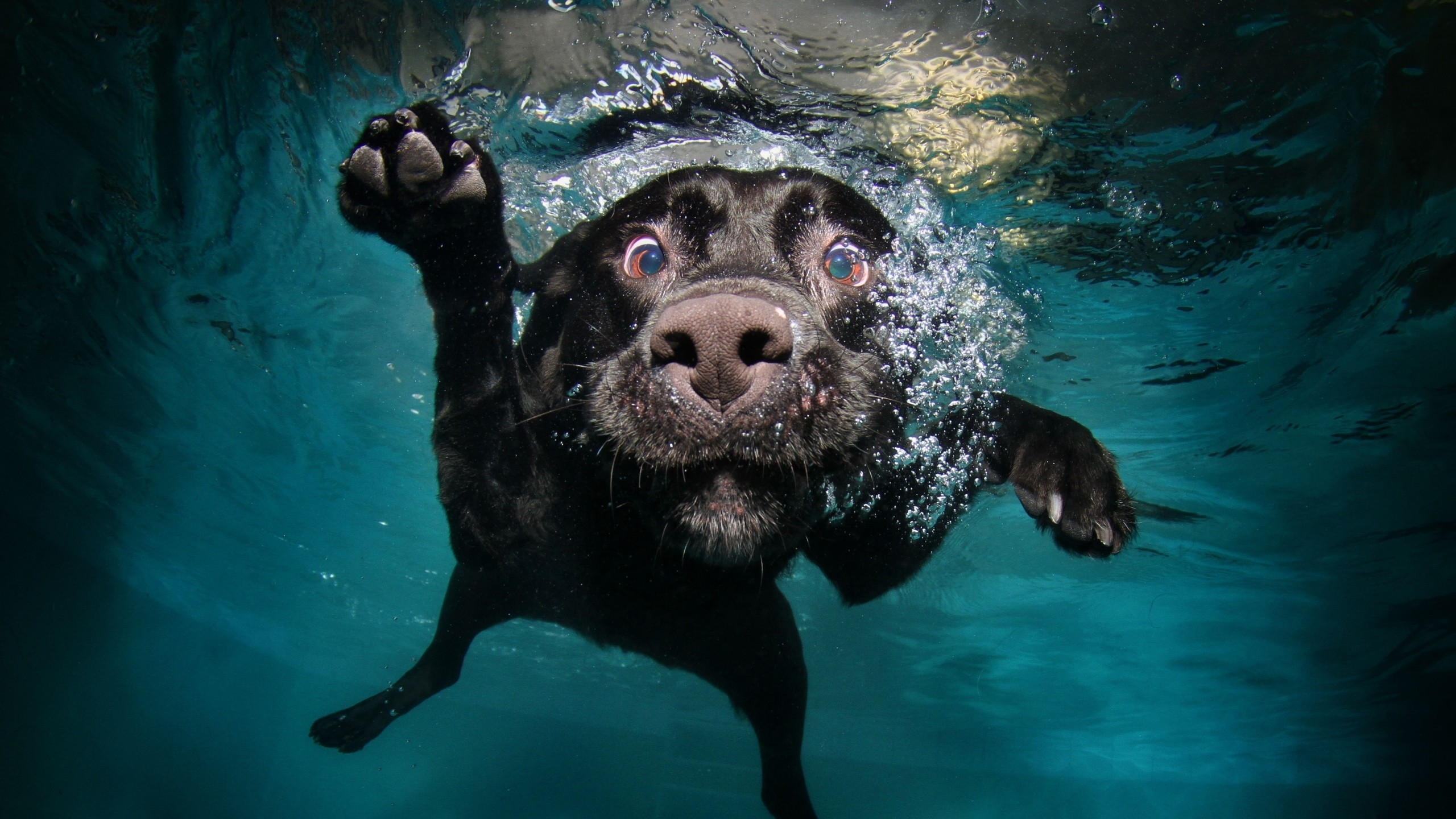 2560x1440 Preview wallpaper dog, black, underwater, swimming, water
