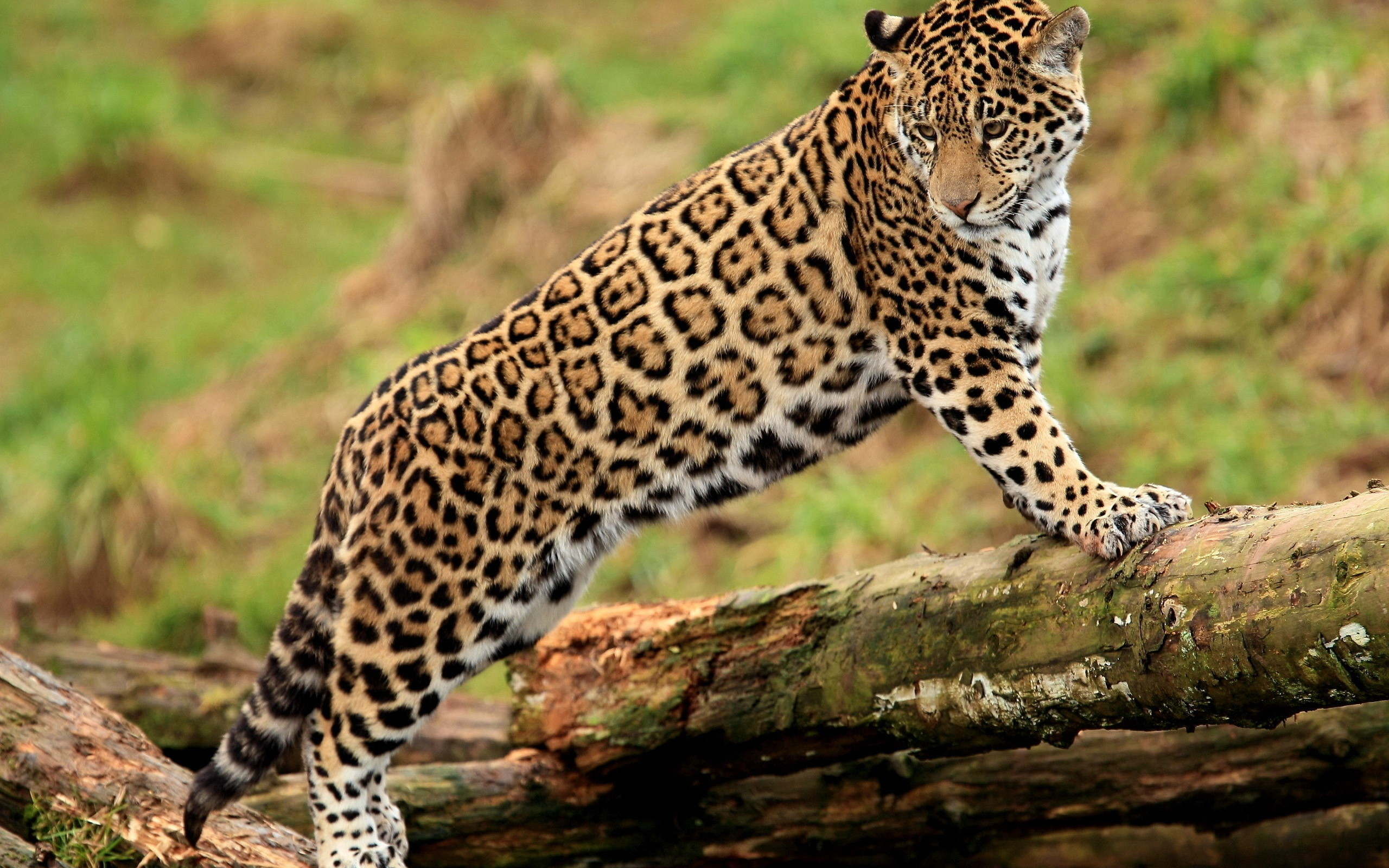 2560x1600 Tiere - Jaguar Panther Wallpaper
