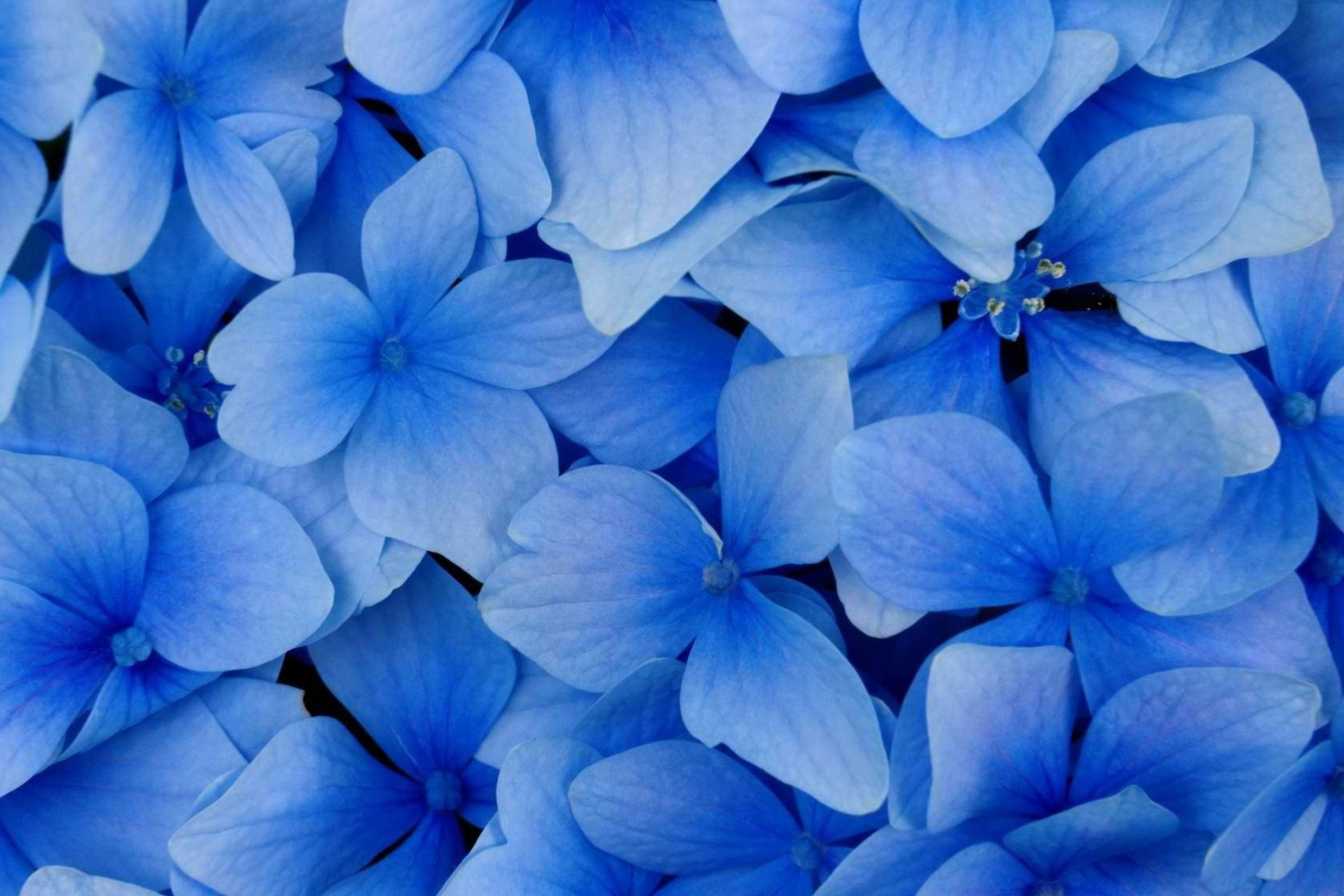 2880x1920 Flower, Blue Flower, Flowering Plant, Blue, Royal Blue Wallpaper in   Resolution