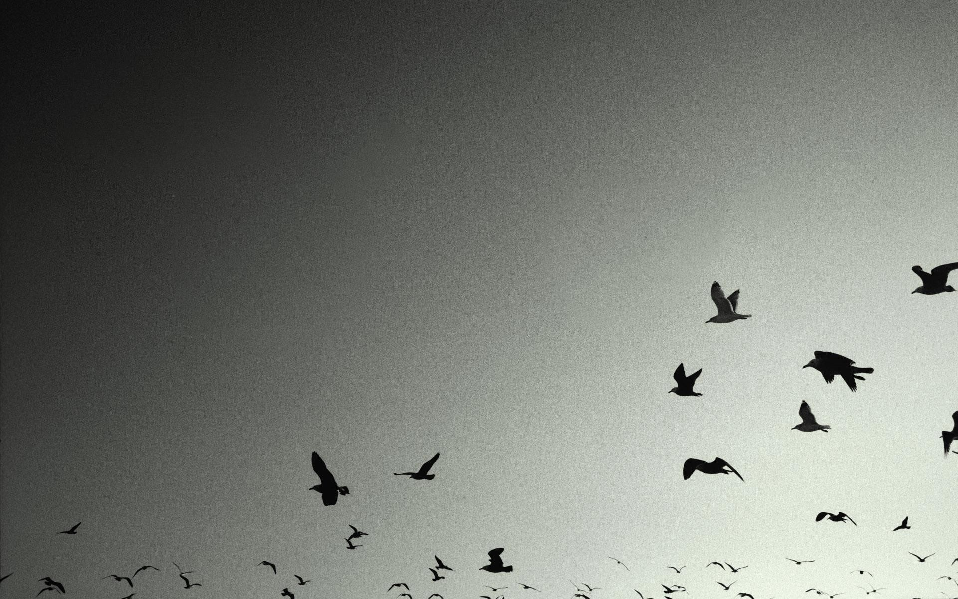 1920x1200 Birds-crows-grey-wallpaper-backgrounds-HD