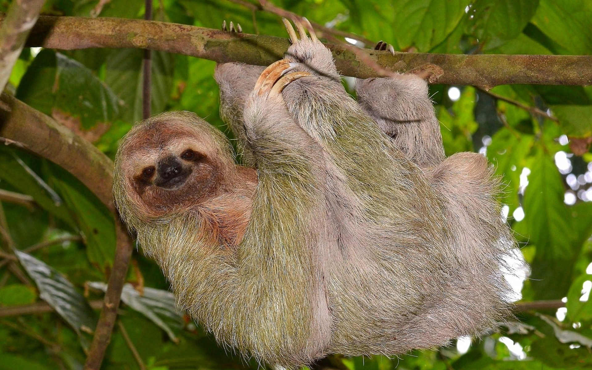 1920x1200 ... animals hanging sloth wallpaper ...
