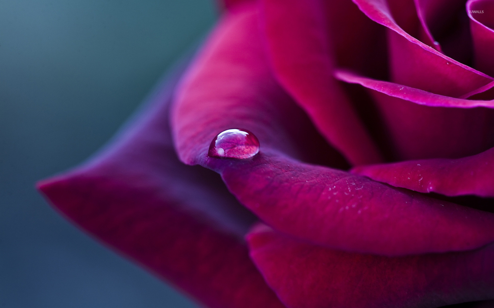 1920x1200 Water drop on a purple rose wallpaper - Flower wallpapers - #42045