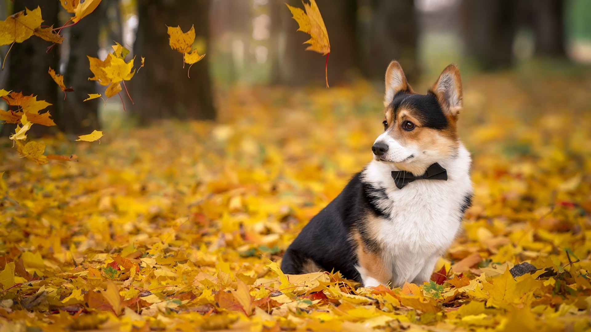 welsh corgi wallpaper  images