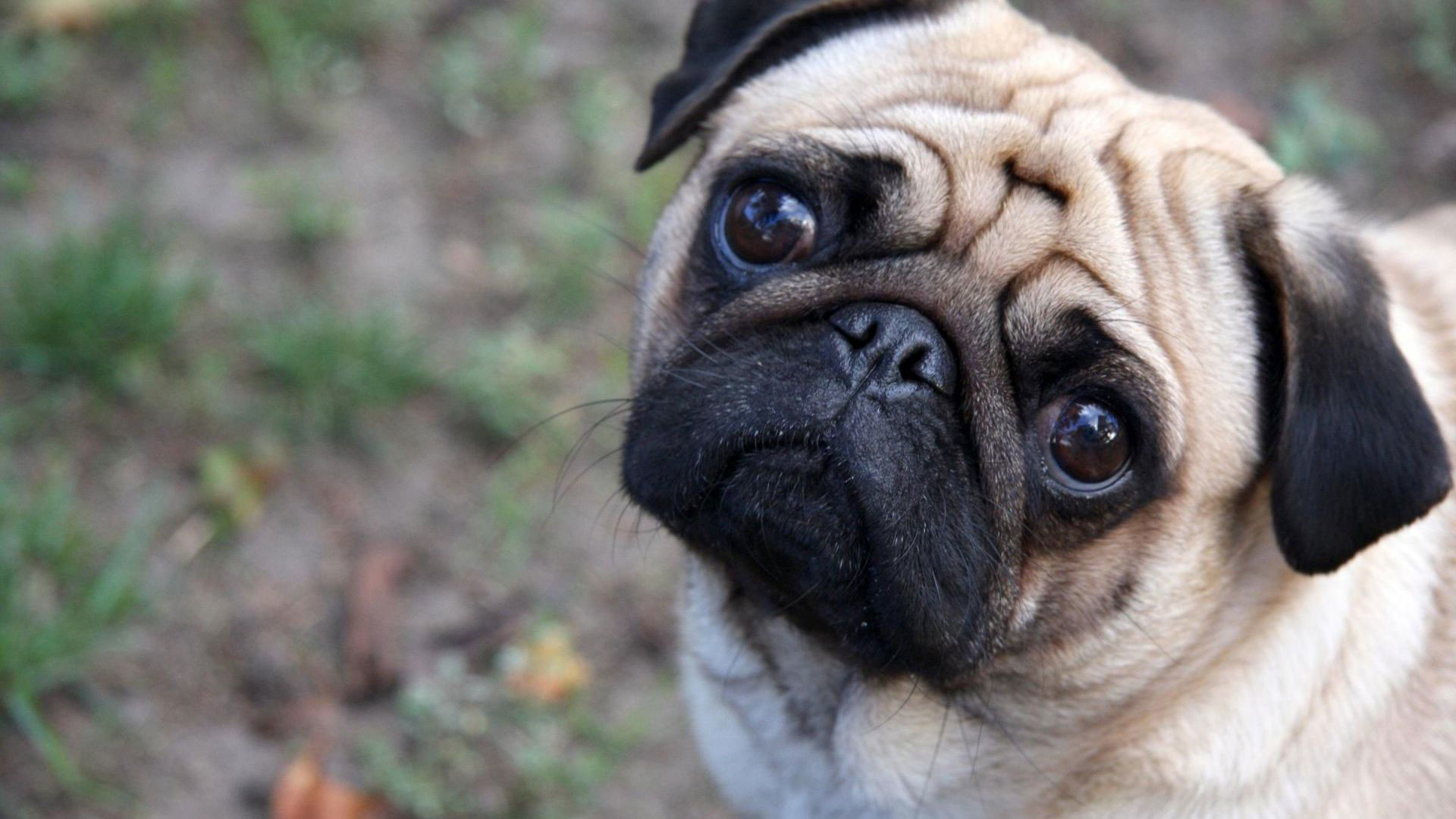 1920x1080 hd pics photos best beautiful pug dog attractive face close up hd quality  desktop background wallpaper