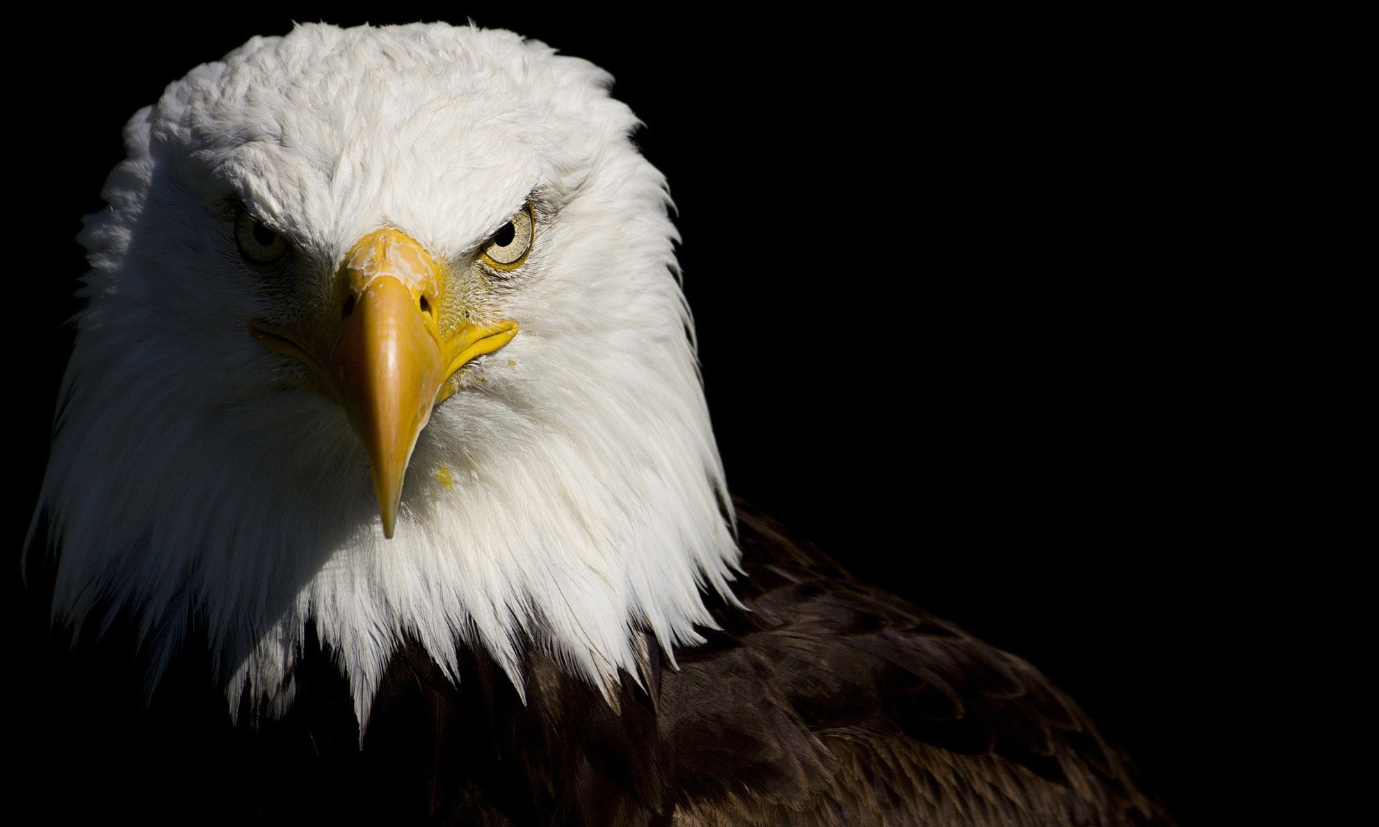 1983x1189 Animal - Bald Eagle Wallpaper