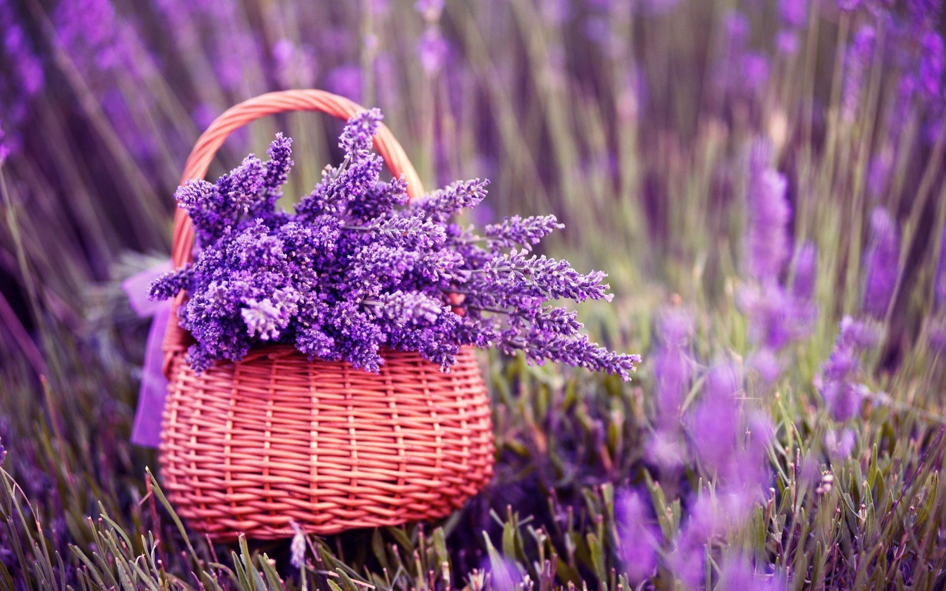 1920x1200 Fresh Lavender Flowers On Pink Background Stock Images Image Lavender  Flower Backgrounds Wallpapers)