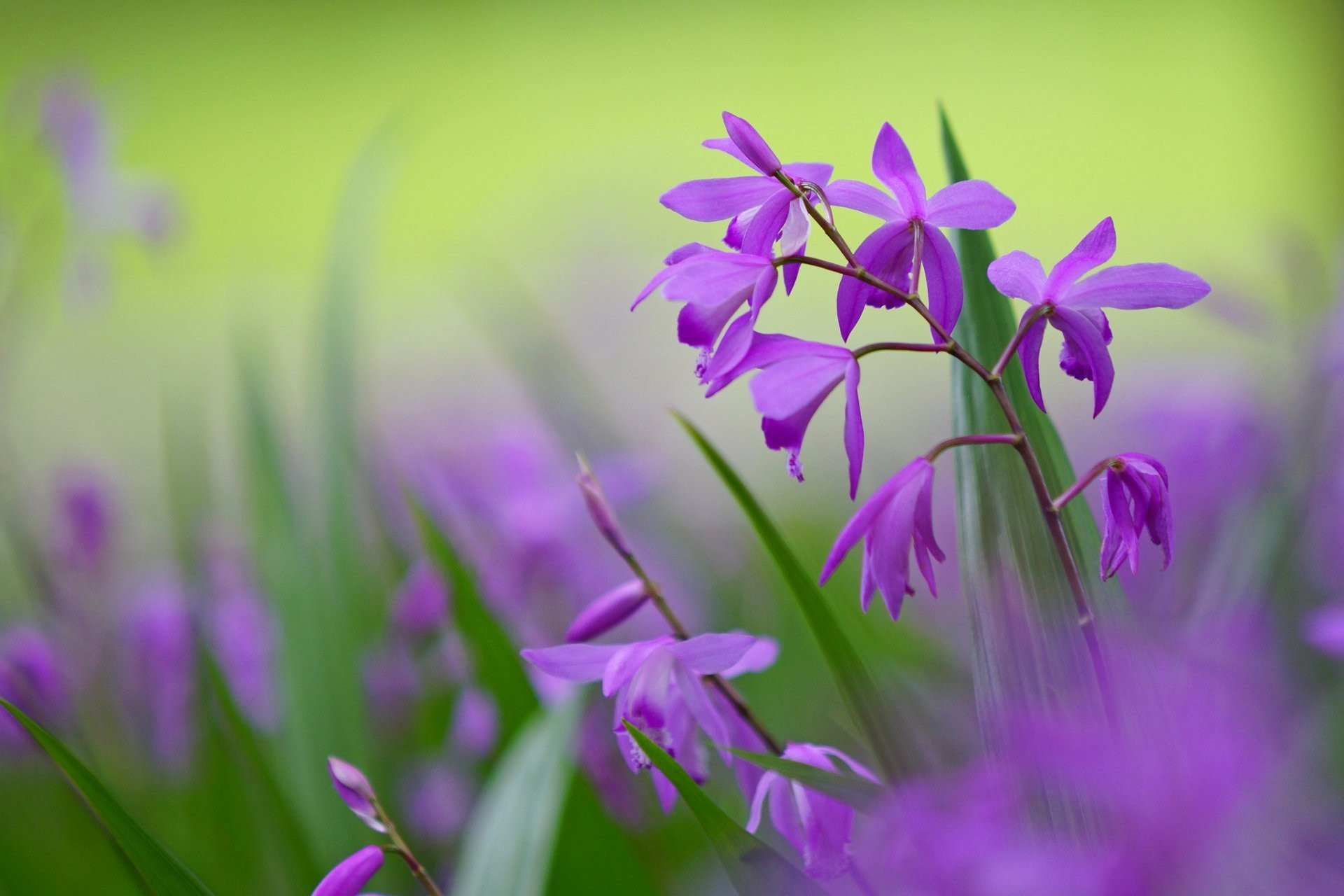 1920x1280 bletilla flower purple petals light green background close up blur