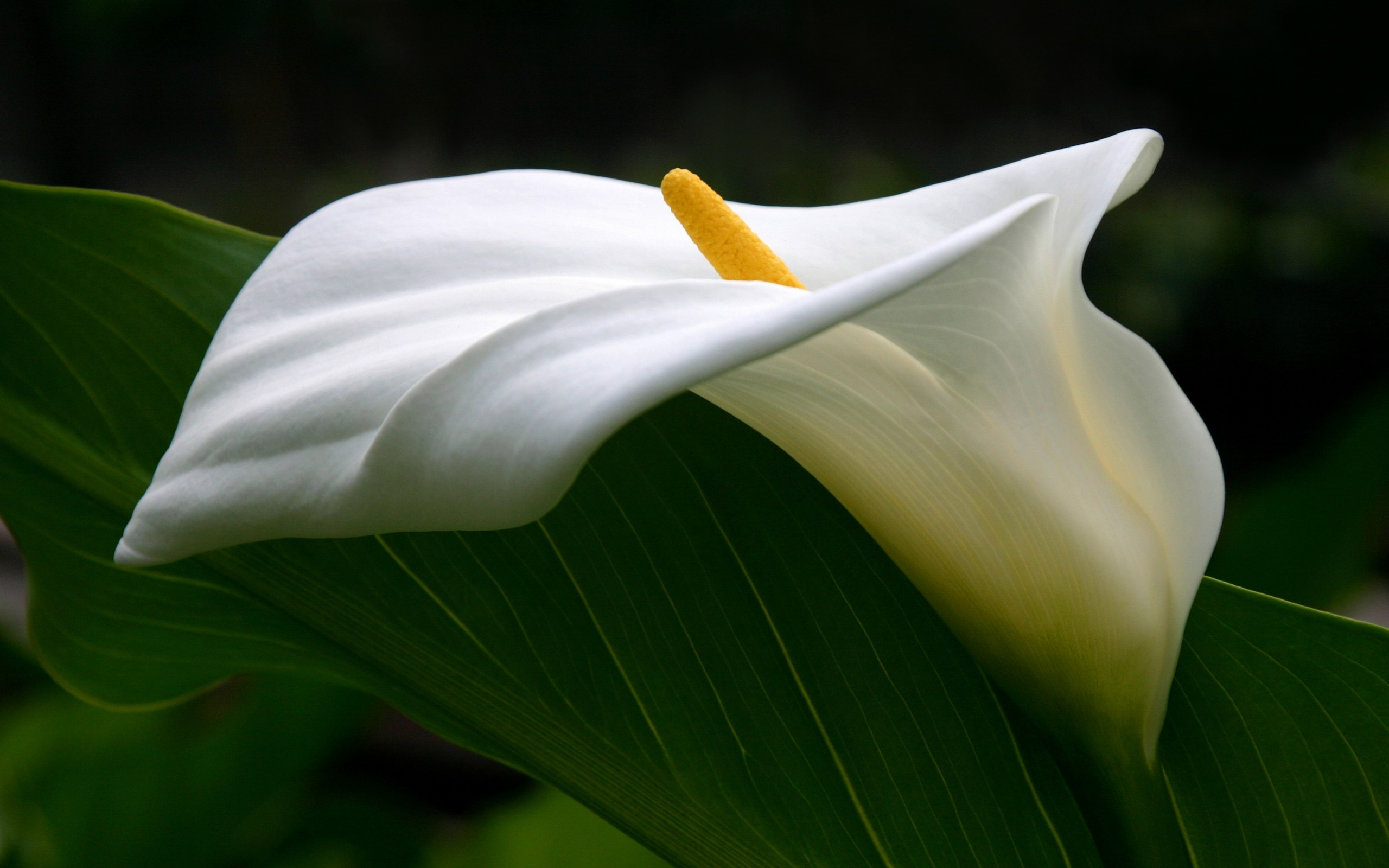 Image Result For Calla Lily Wallpaper New Download Wallpaper X Roses Calla Lilies Orchids Flowers