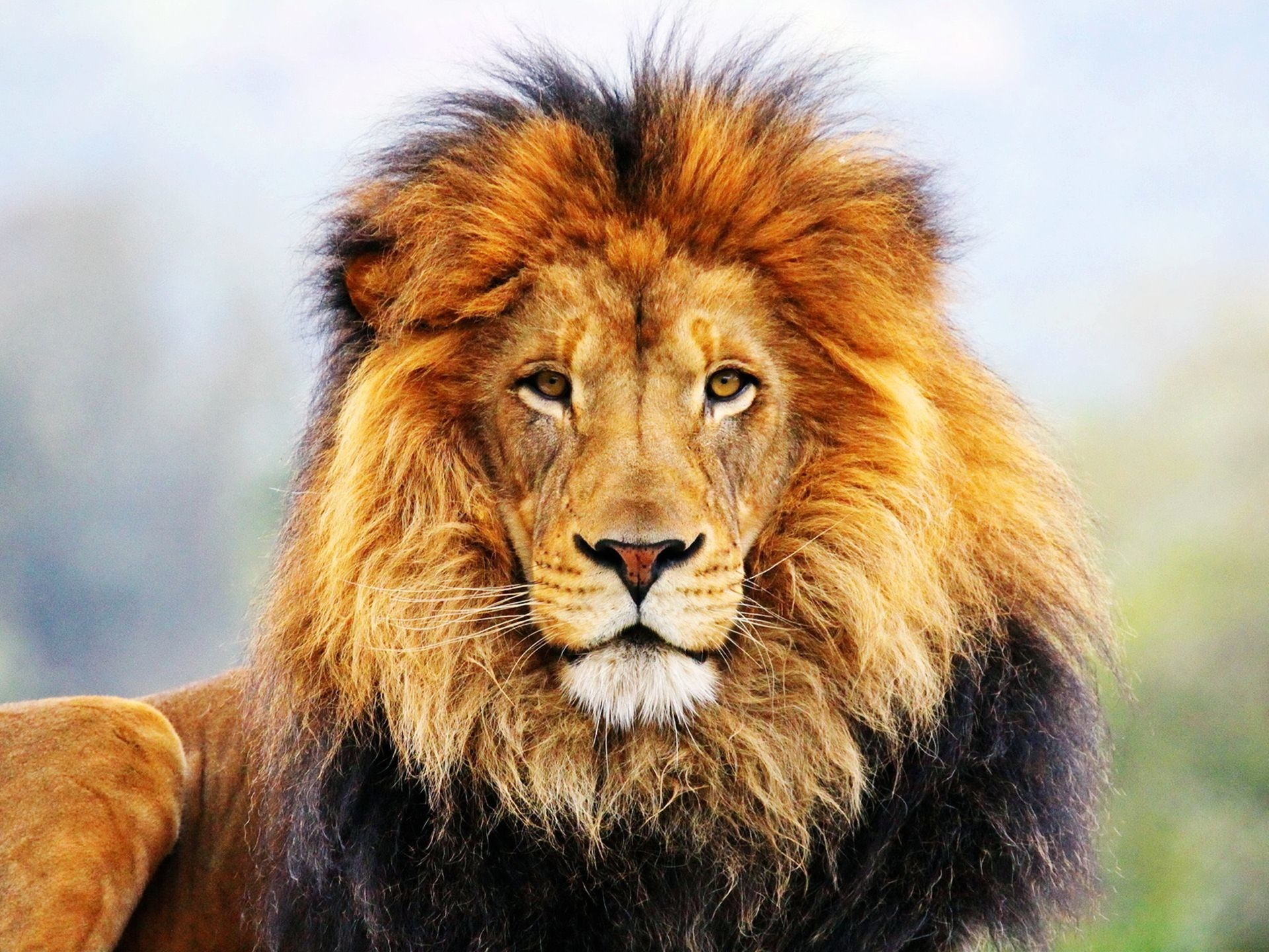 Best 25 Lion Hd Wallpaper Ideas On Pinterest: Roaring Lion Wallpaper (67+ Images