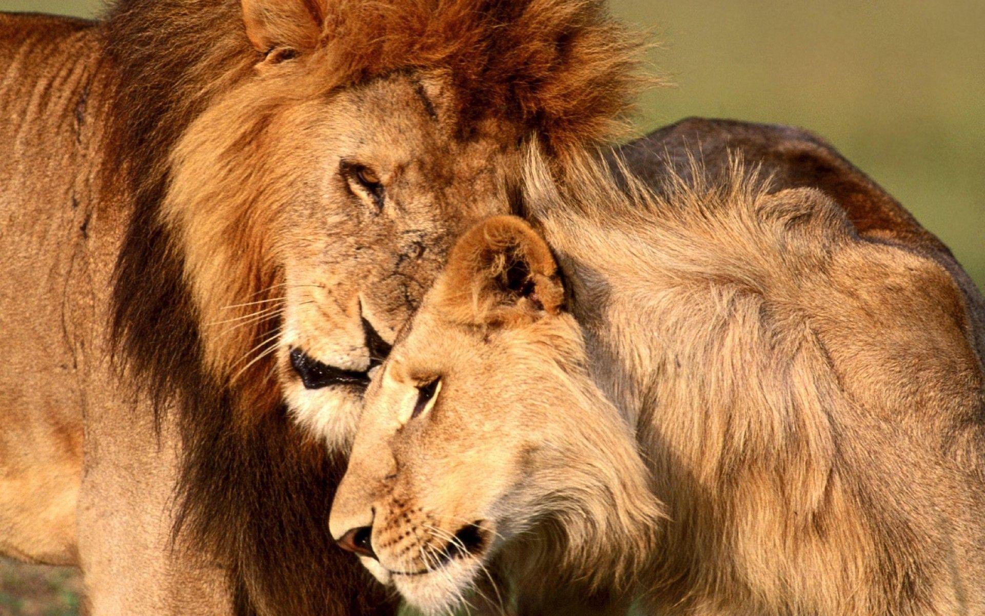 Lion Wallpaper 73 Images
