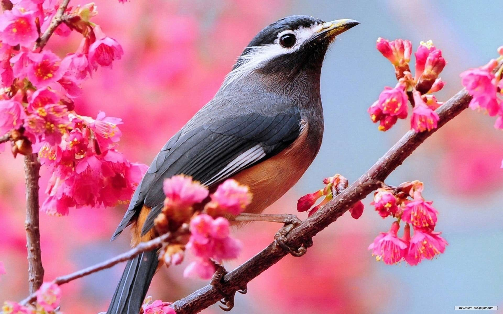 1920x1200 Free Animal wallpaper - Spring Flowers And Birds wallpaper -   wallpaper - Index 9