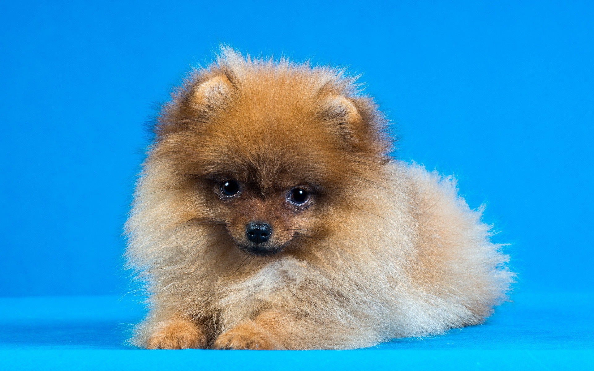 1920x1200 pomeranian wallpapers high definition