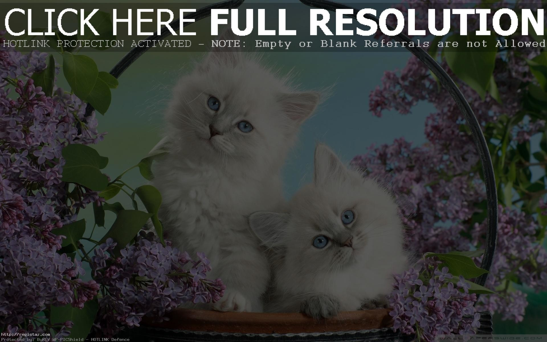 1920x1200 persian kittens wallpaper white cat