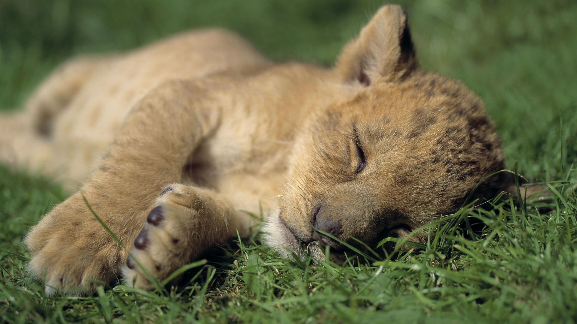 1920x1080 Cute Baby Lion Cub Sleeping Nicely HD Wallpaper.jpg