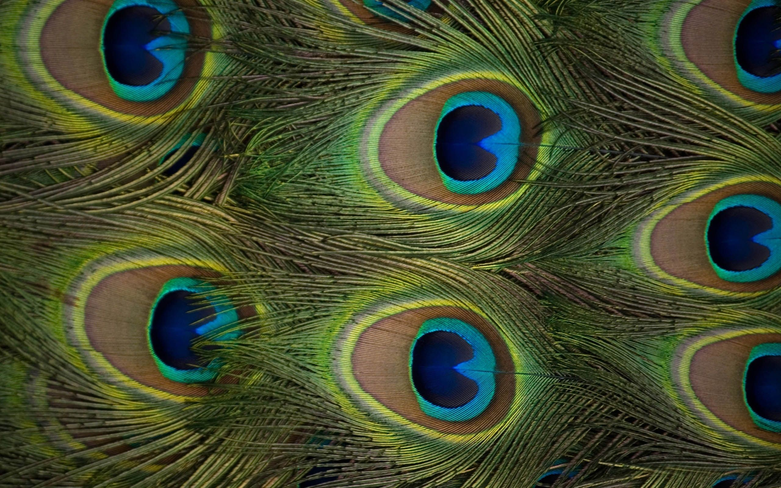 2560x1600 peacock pictures | New Peacock Feathers Full HD Wallpaper #18311 | Just  another High .