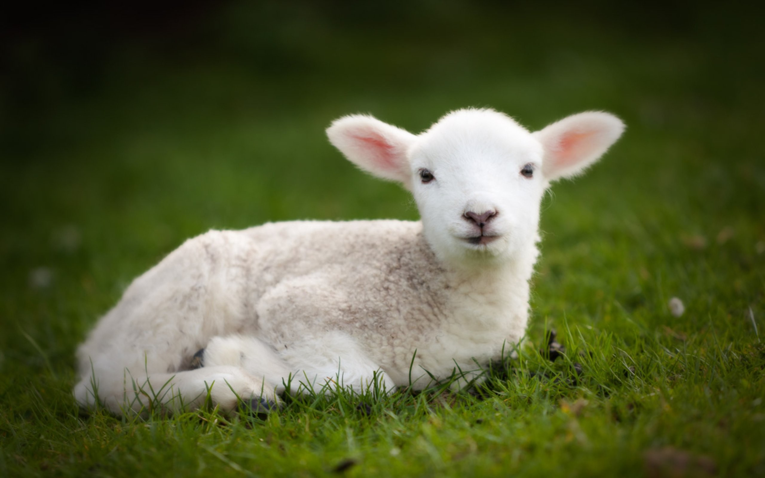 2560x1600 Cute baby sheep wallpapers