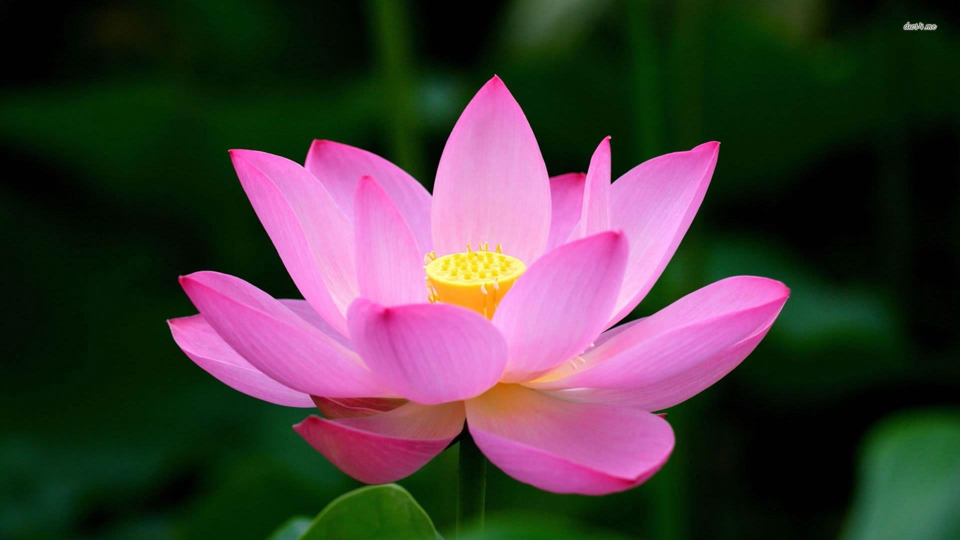 Lotus hd wallpaper 73 images 1920x1080 pink lotus wallpaper 1920x1080 more flowers lotus izmirmasajfo