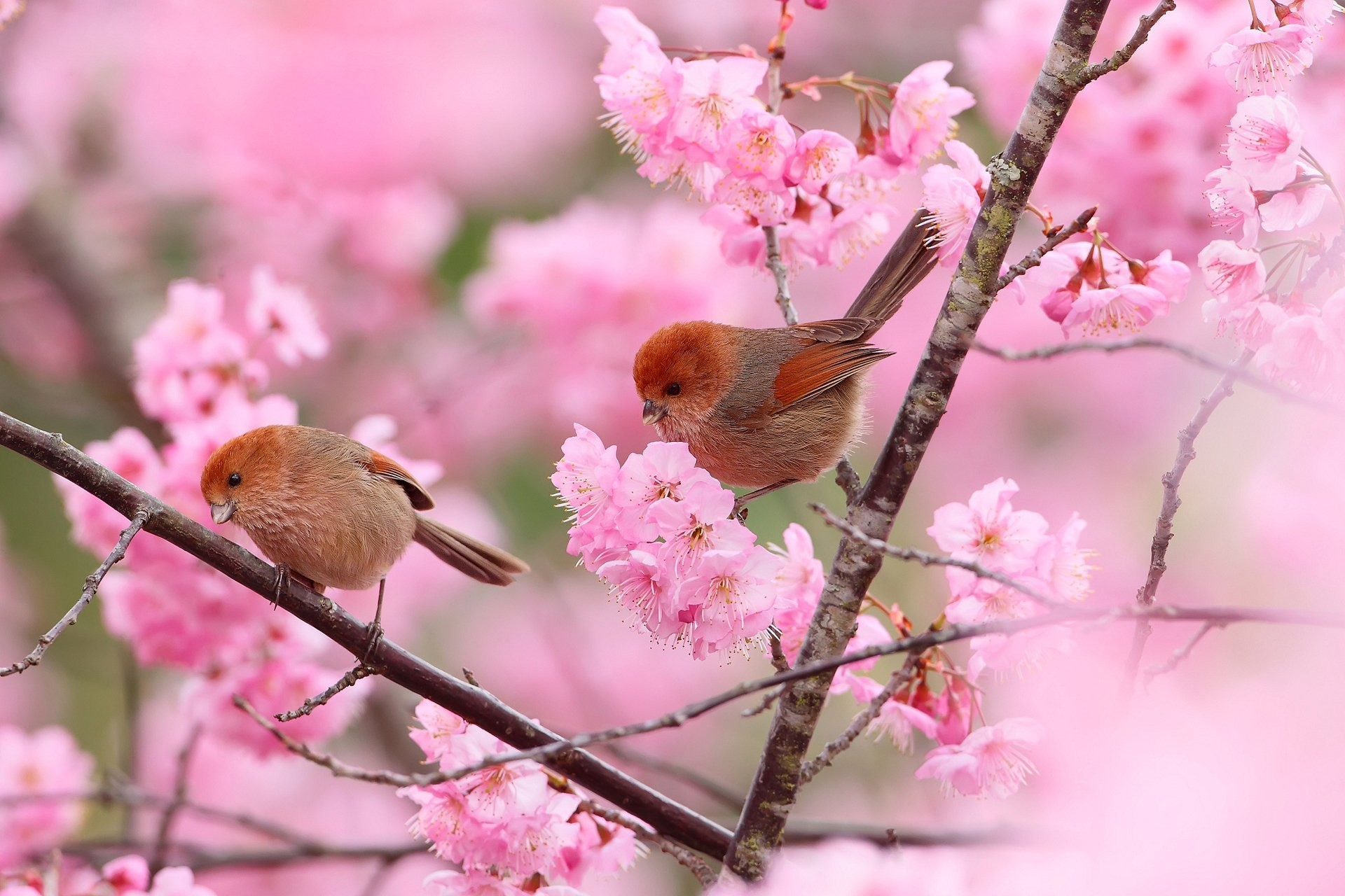 1920x1280 birds the pair tree supplies branches flower spring
