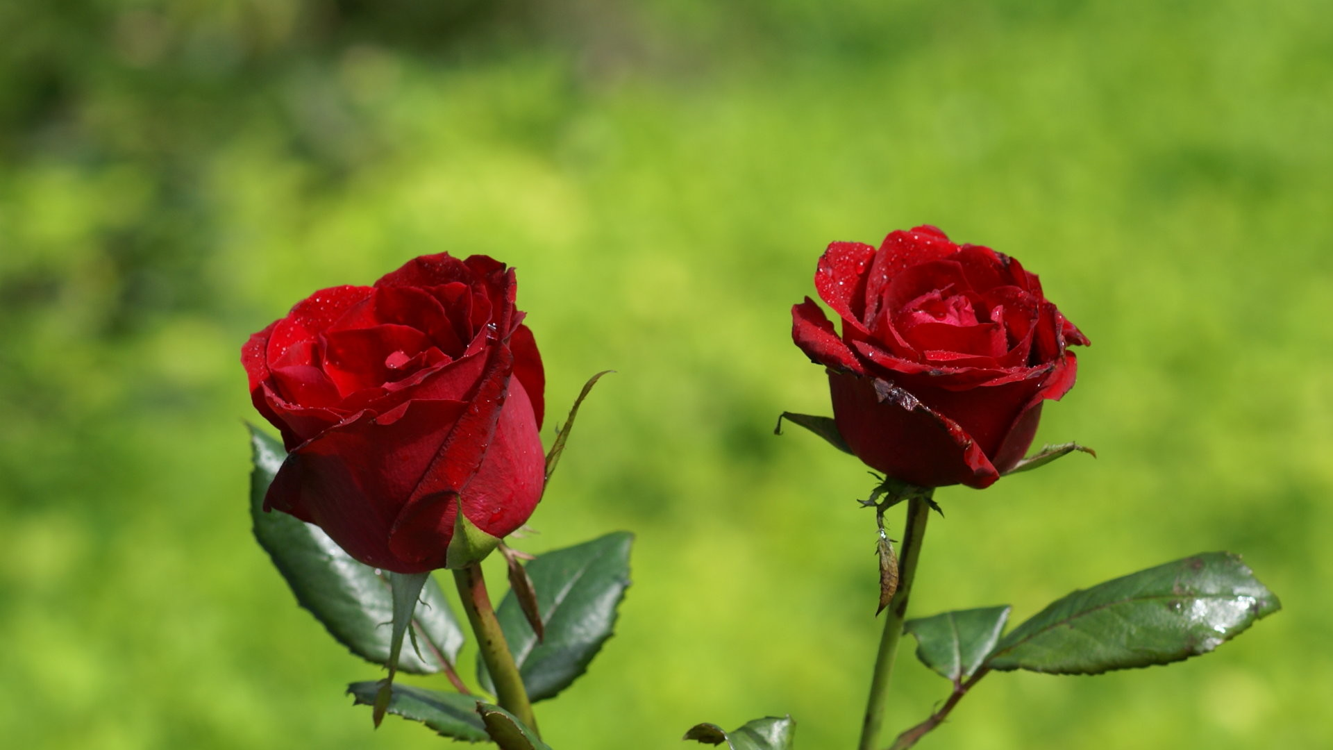 1920x1080 ... Beautiful Single Red Rose Wallpapers Group (50 ) ...