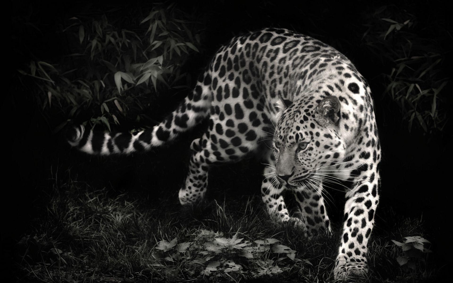 Black leopard wallpaper 71 images - Animal black background wallpaper ...
