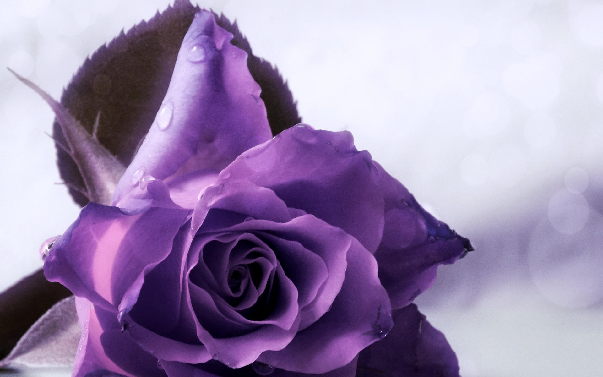 1920x1080 Purple And White Rose Wallpaper
