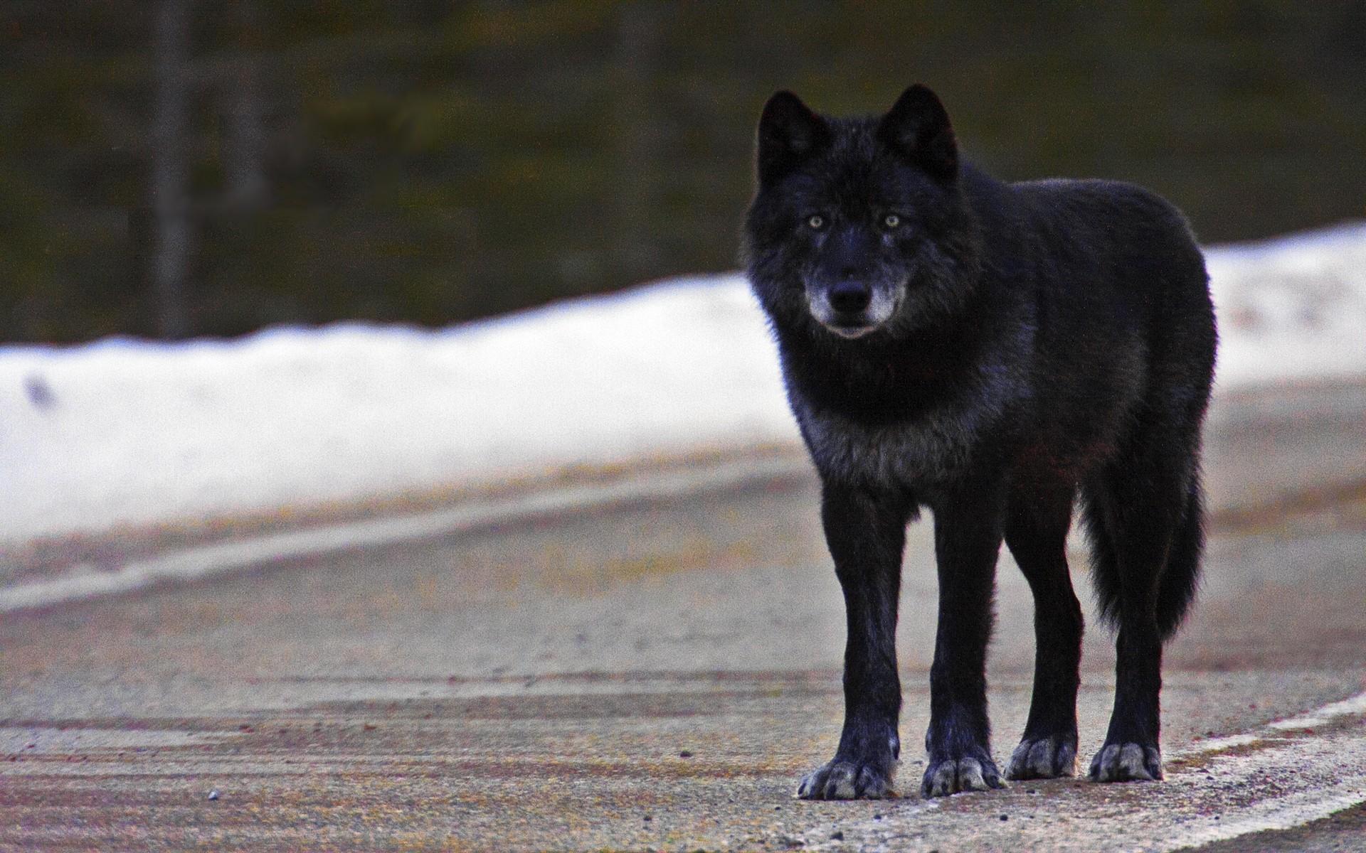 2560x1600 Dark Wolf By Ethan Milligan