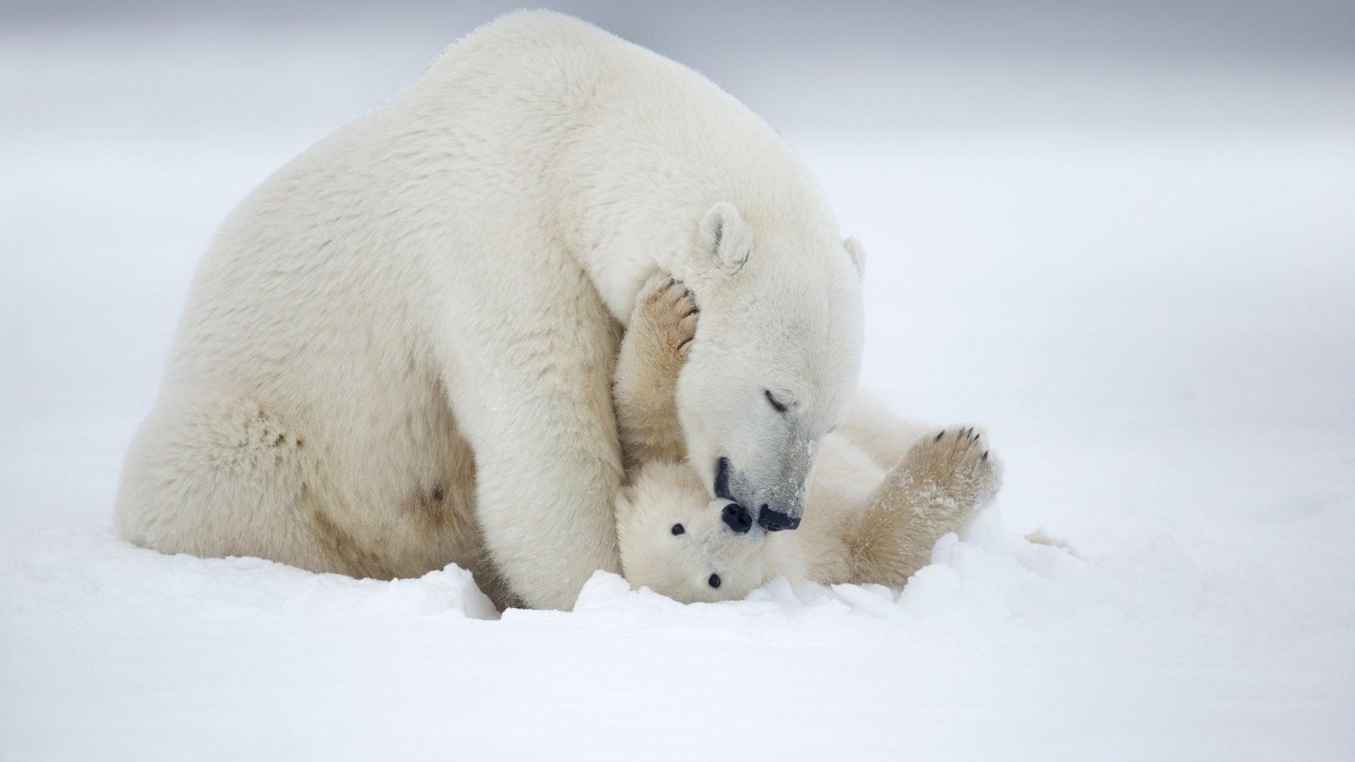 baby polar bear wallpaper 52 images. Black Bedroom Furniture Sets. Home Design Ideas