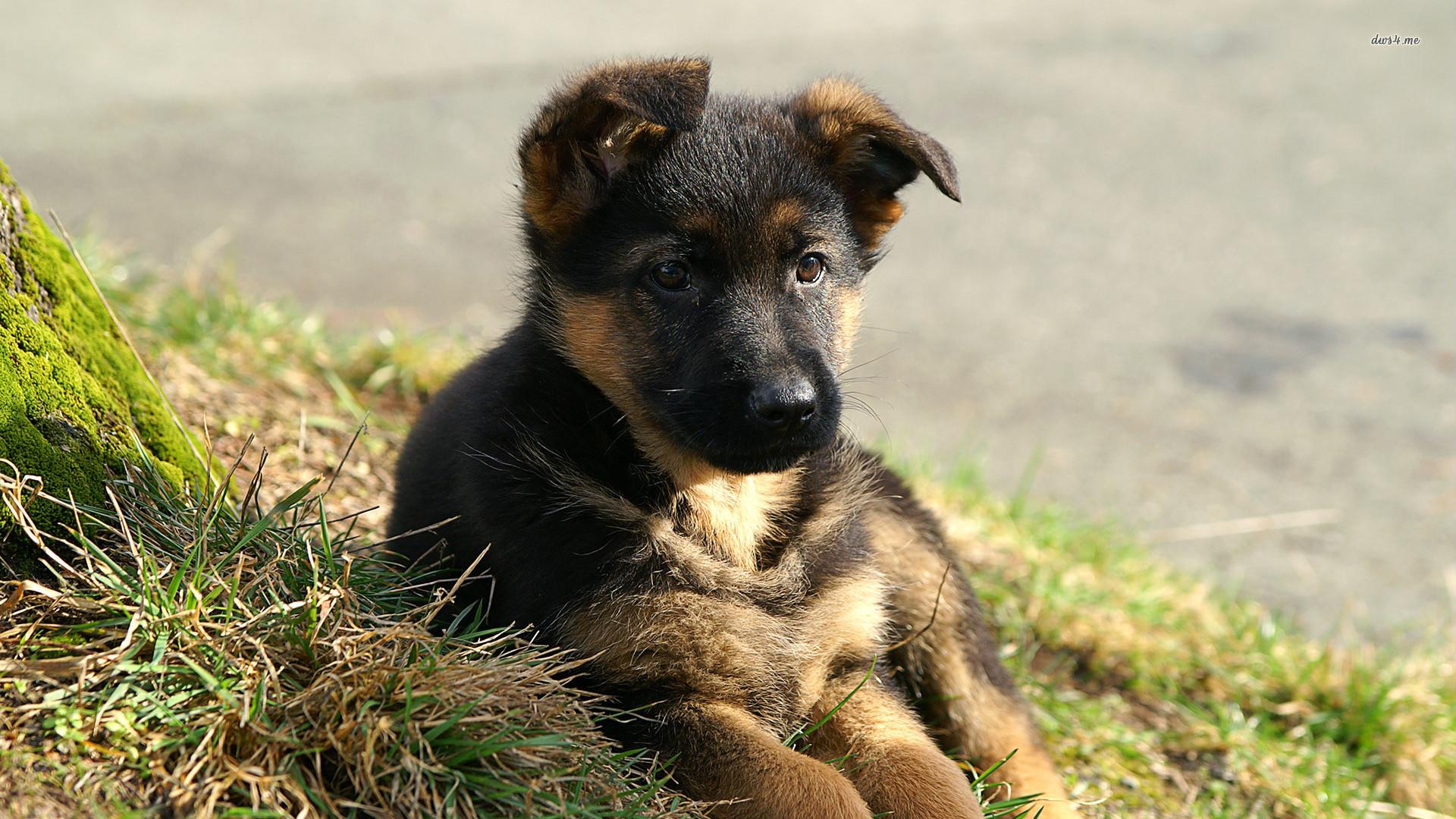 Dog German Shepherd Wallpapers 73 Images