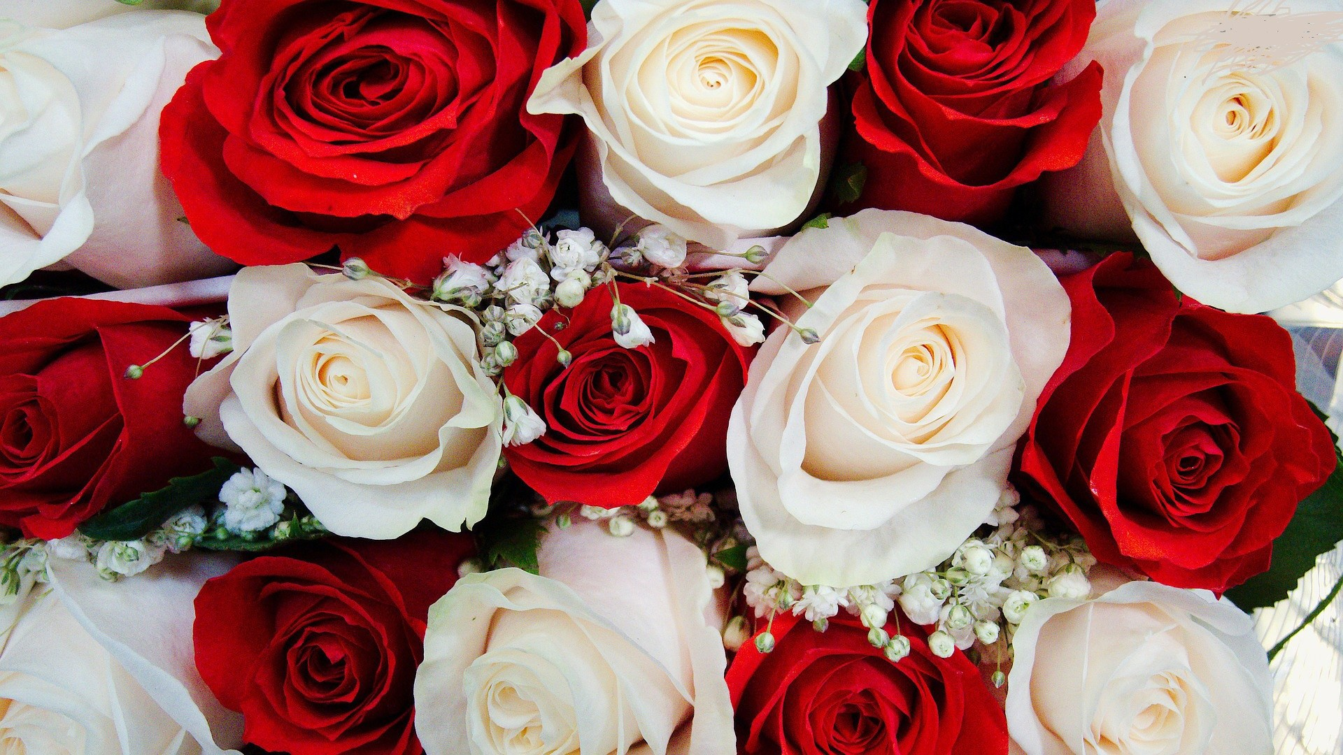 1920x1080 amazing-red-white-roses-free-wallpapers-hd