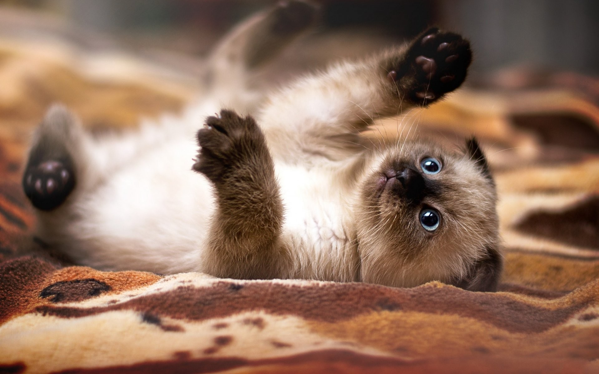 1920x1200 hd wallpapers kitten nyasha playful mood foot claws siamese cat