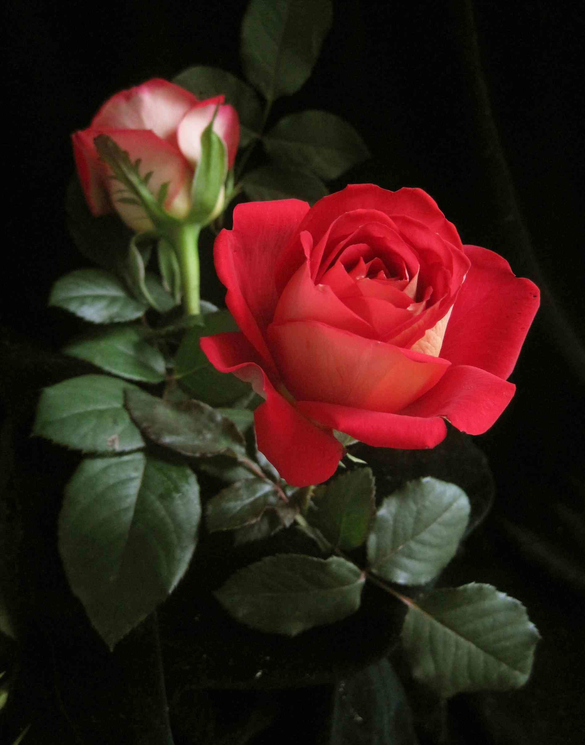 Single red rose wallpaper 56 images - Pretty roses wallpaper ...