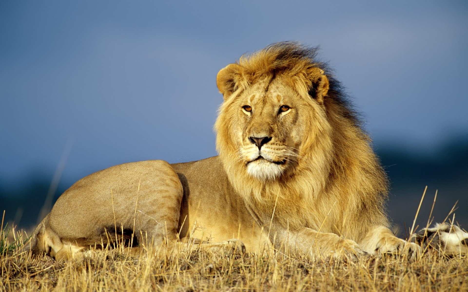 1920x1200 African Lion Wallpaper Big Cats Animals Wallpapers