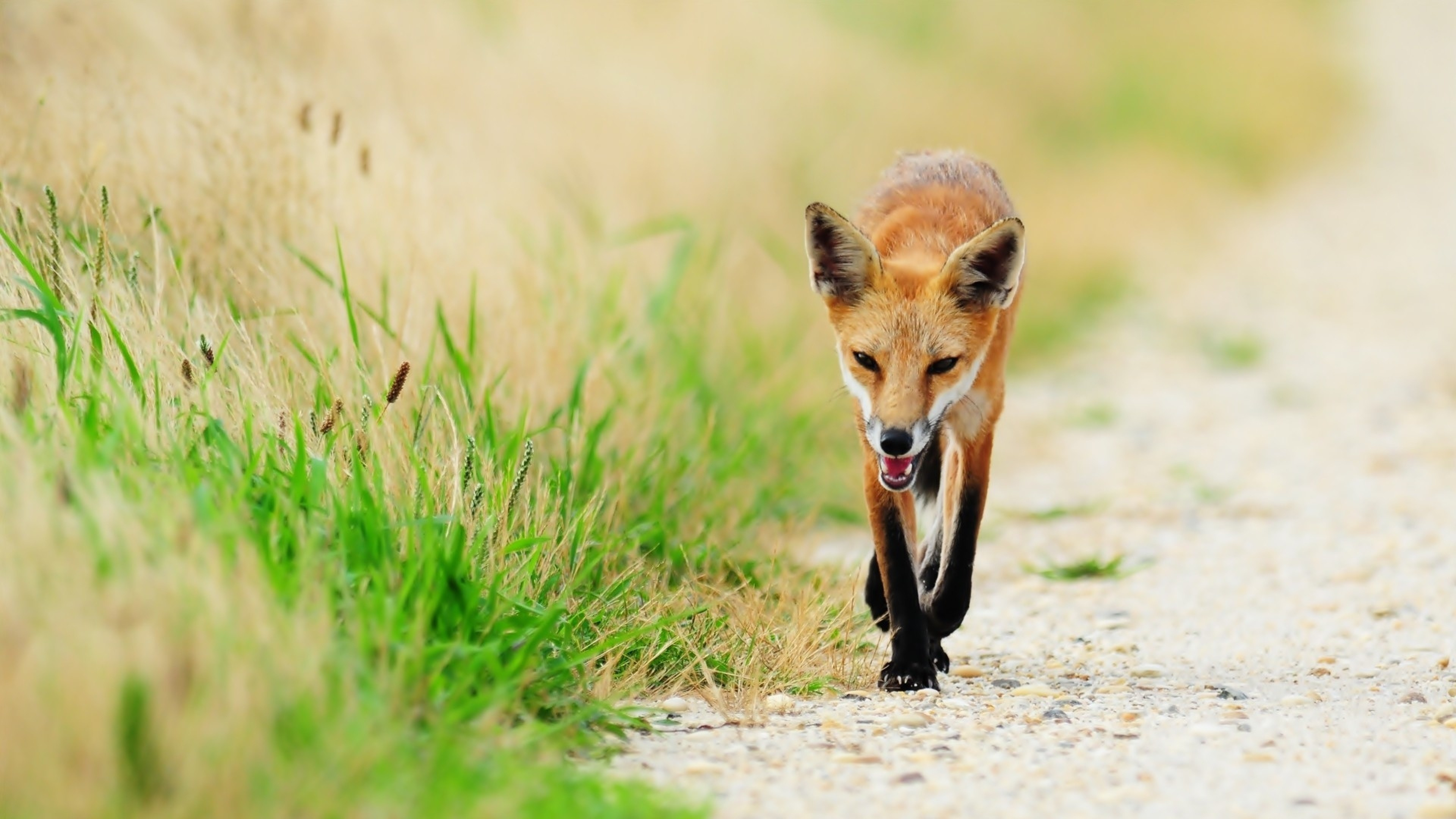 3840x2160 Preview wallpaper fox, thin, grass, sick, unhappy