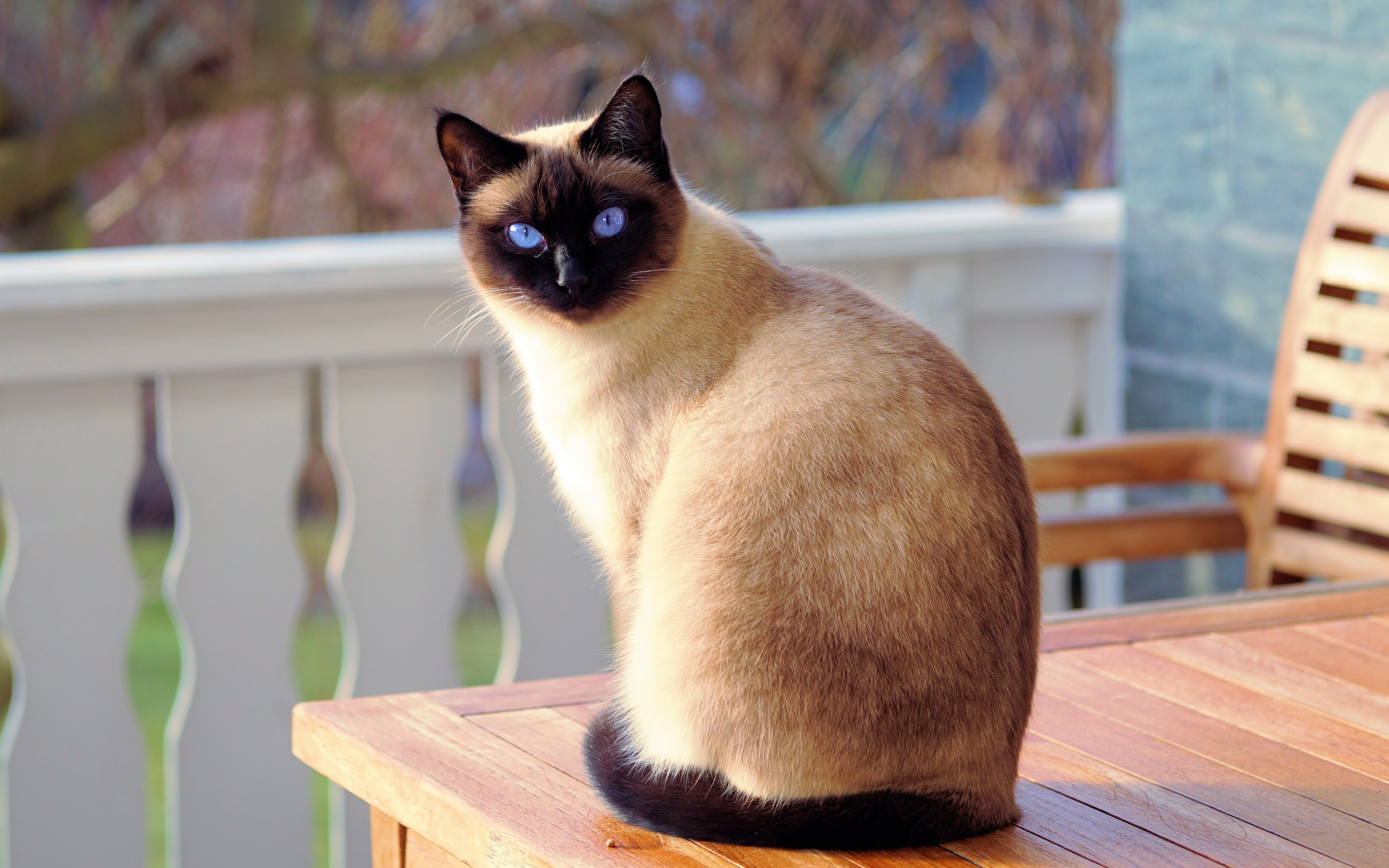 2880x1800 Siamese Cat HD Wallpaper | Background Image |  | ID:969717 -  Wallpaper Abyss