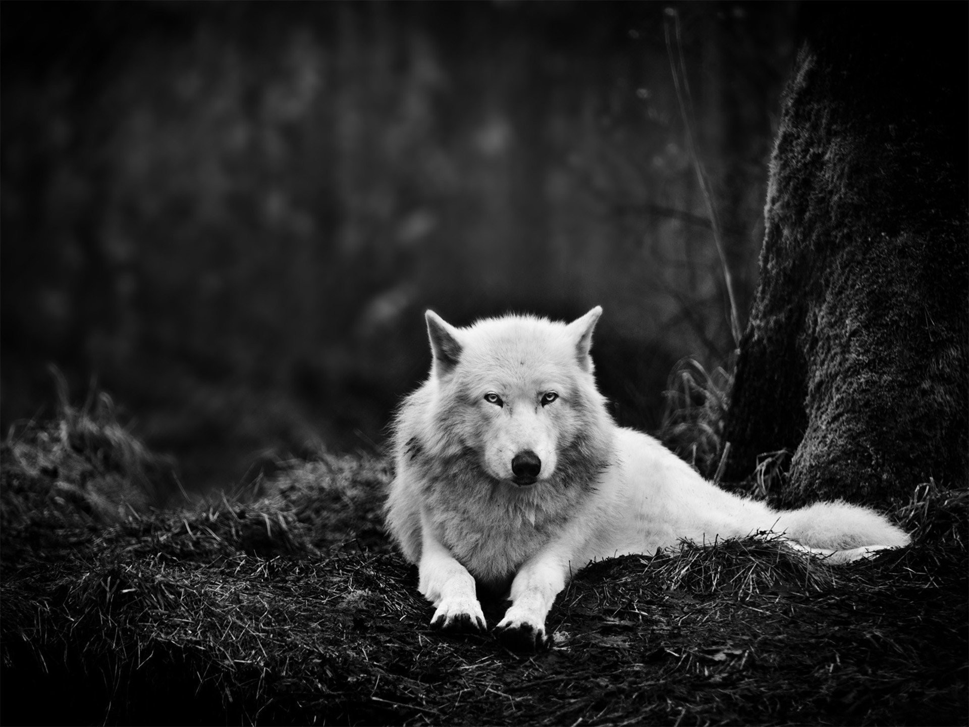 1920x1440 wolf white animals eyes dark forest
