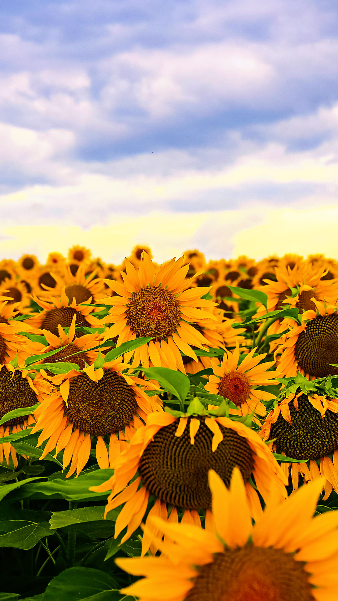Nature Images 2mb: Sunflowers Wallpaper (61+ Images