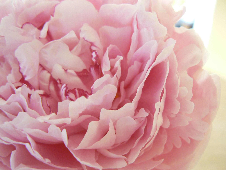 2816x2112 Hd Pink Peony Wallpaper Free Database