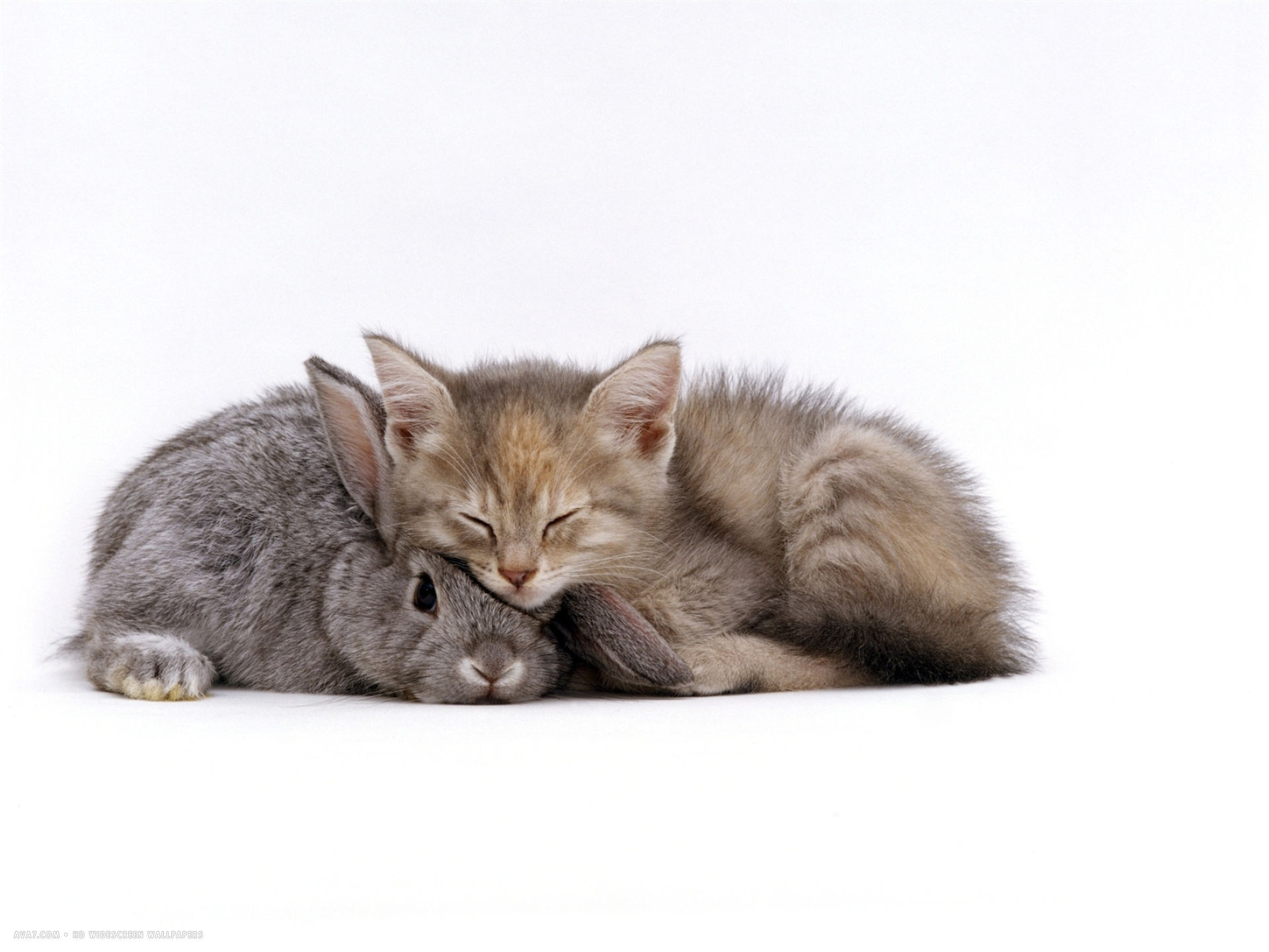1920x1440 silver tortoiseshell kitten with silver dwarf lop eared rabbit
