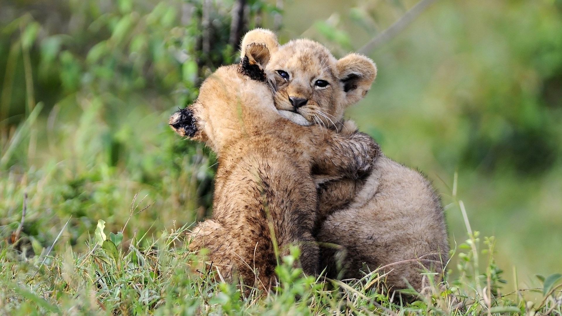 1920x1080 Hugging lion cubs HD Wallpaper  Hugging ...