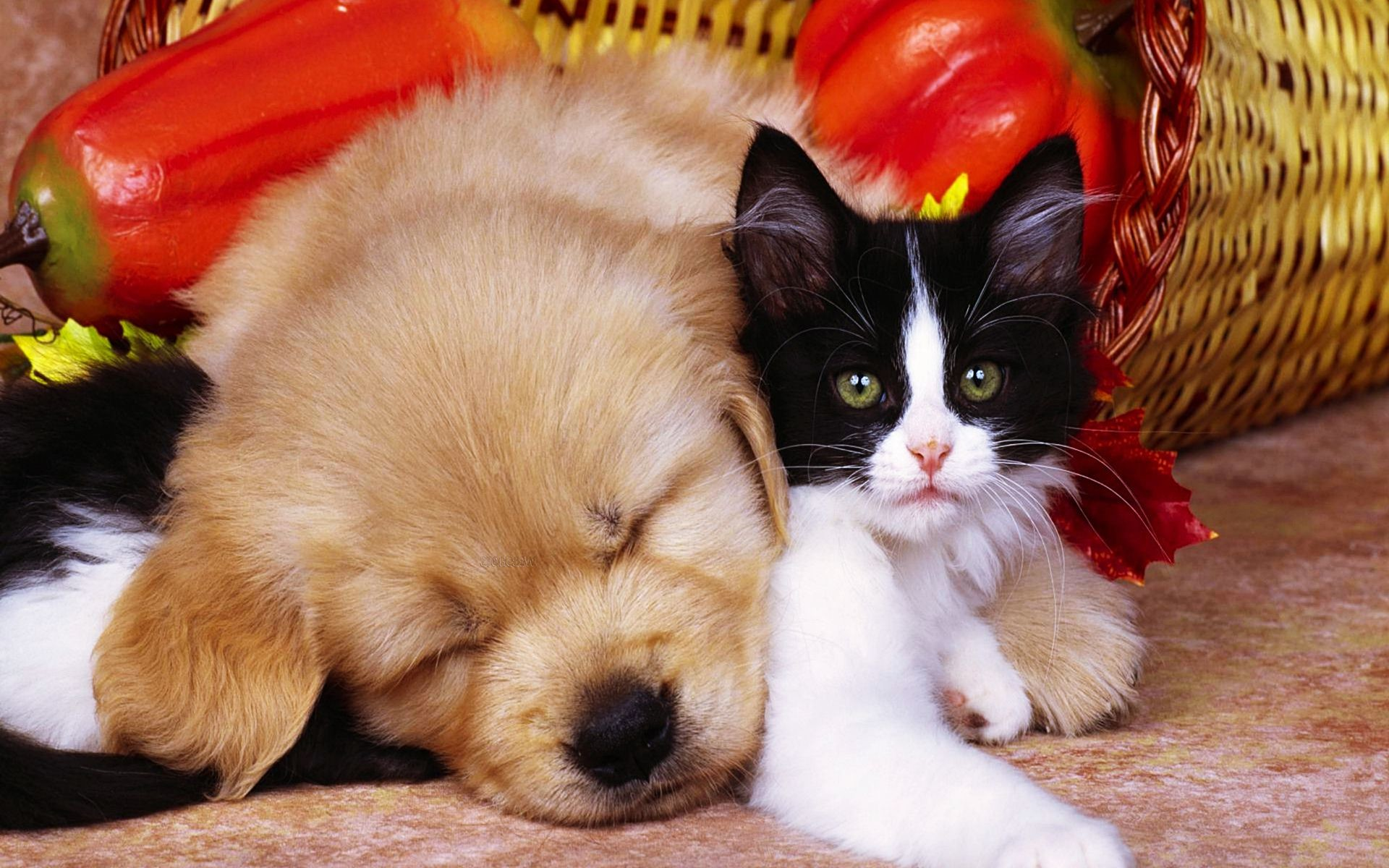 1920x1200 Pics Photos Free Download Pets Pic Cat And Dog Wallpaper