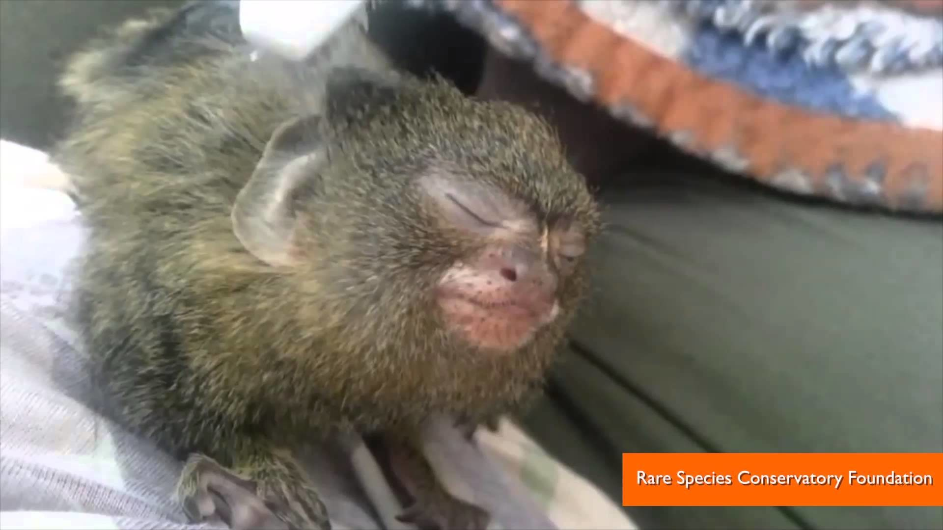 1920x1080 Pygmy Marmoset Getting a Toothbrush Massage is the Cutest