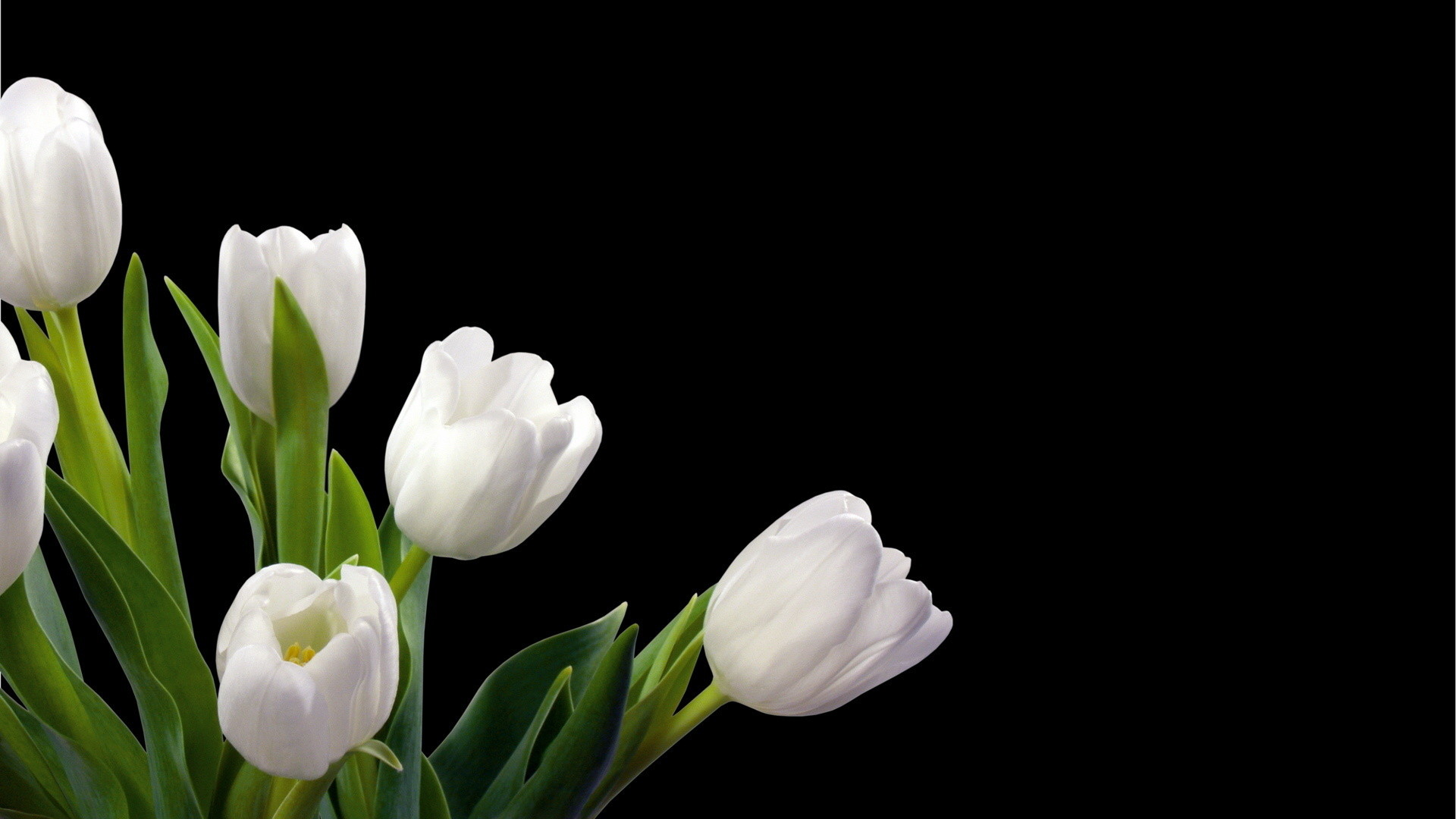 1920x1080 ... Wallpapers White Tulips High Definition ...
