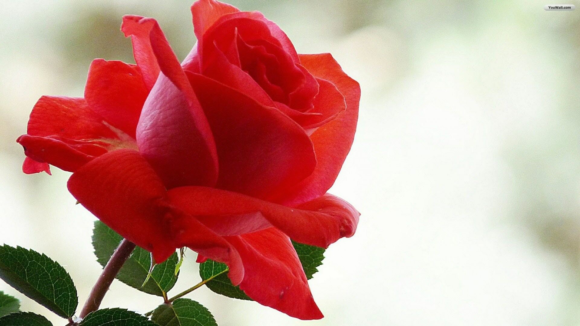 1920x1080  Red Rose Wallpapers Red Flowers HD Pictures One HD Wallpaper | HD  Wallpapers | Pinterest
