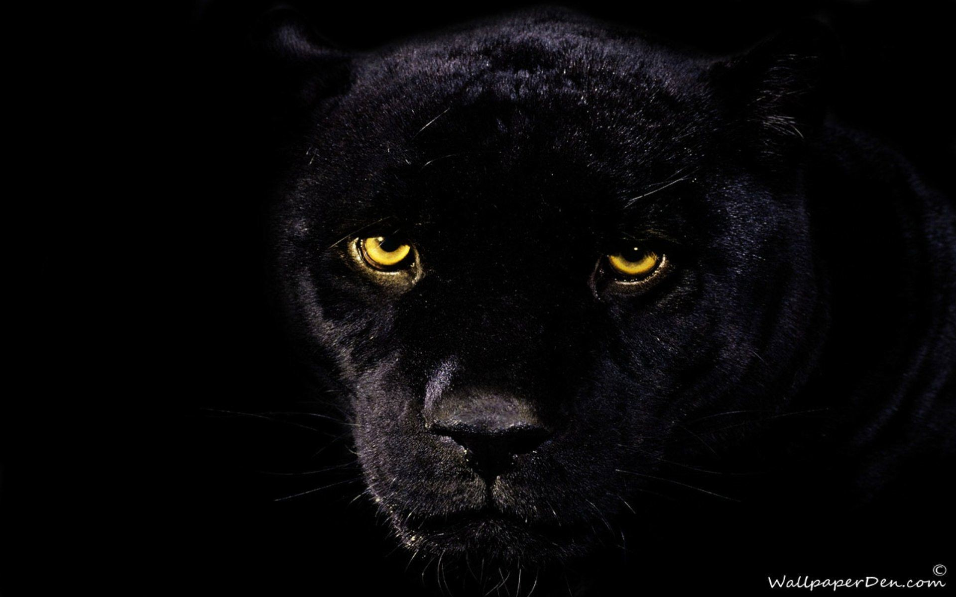 1920x1200 Black Jaguar Wallpapers - Wallpaper Cave
